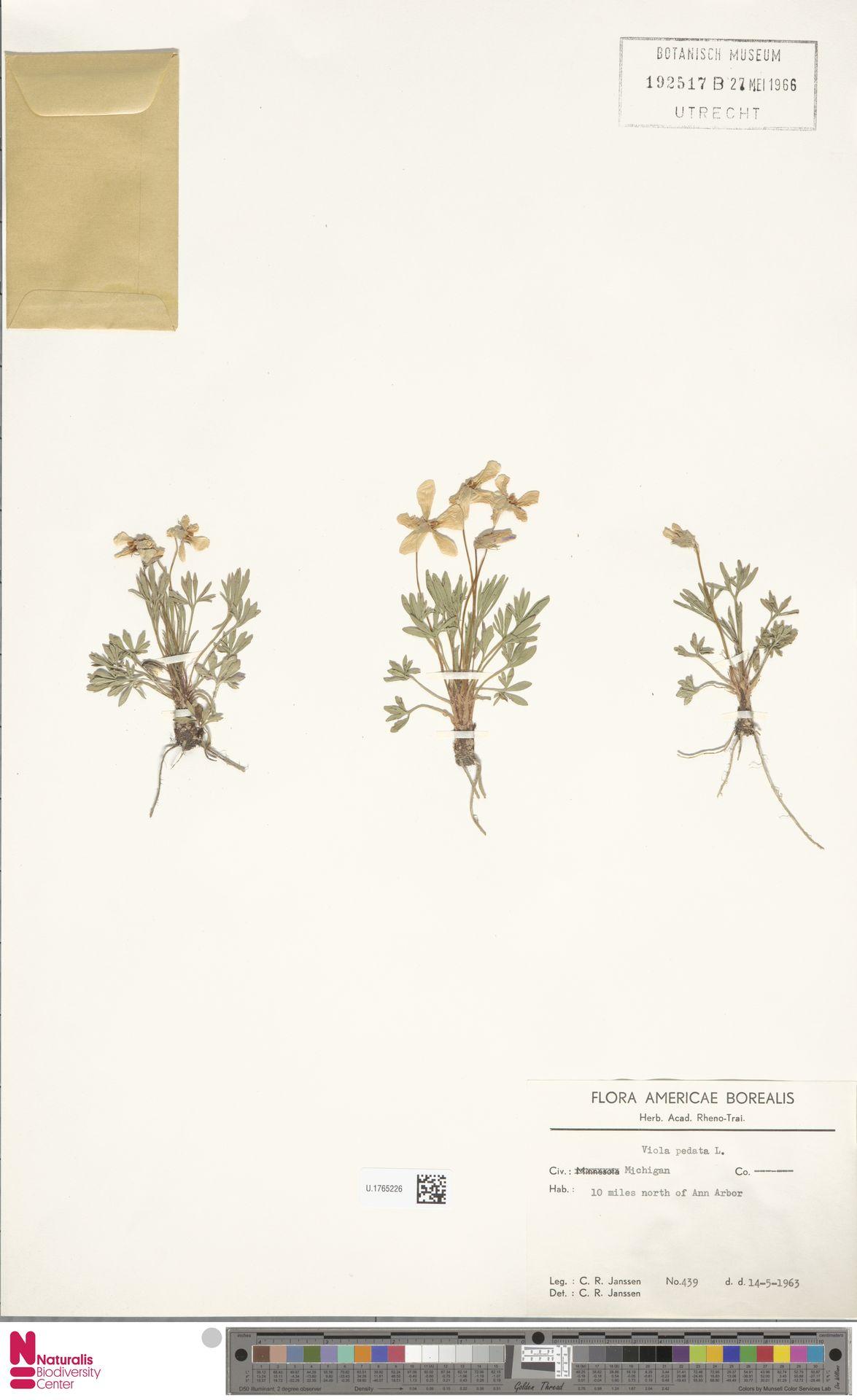 U.1765226 | Viola pedata L.