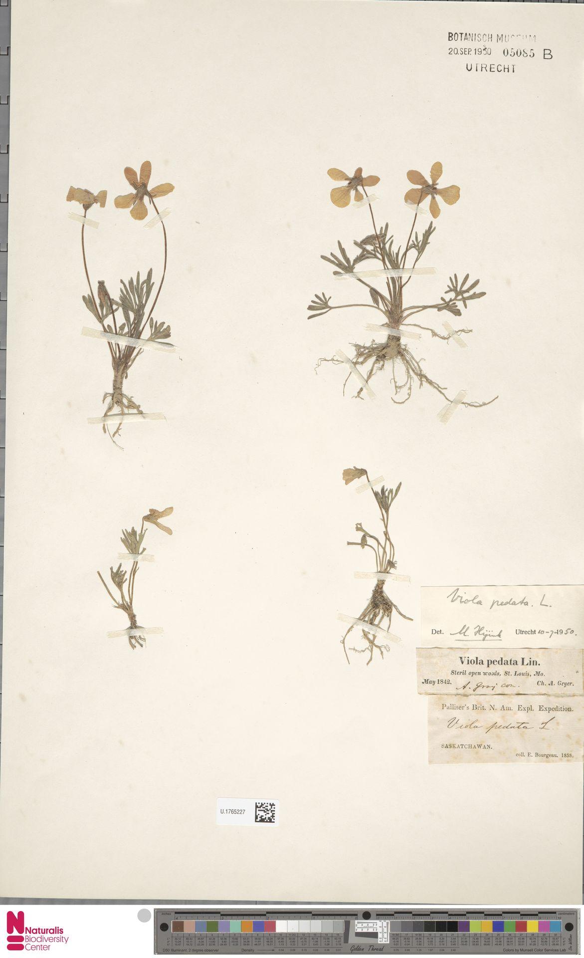 U.1765227 | Viola pedata L.