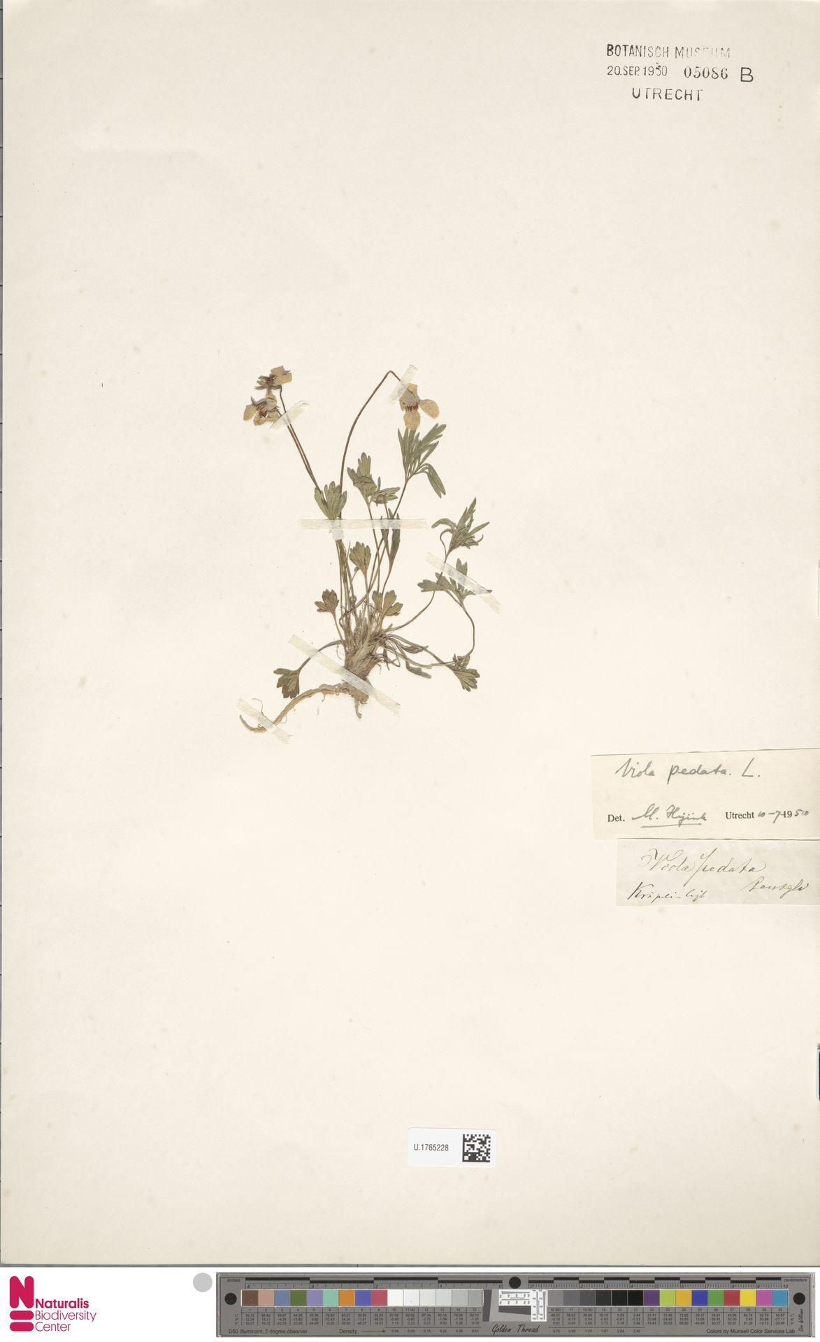 U.1765228 | Viola pedata L.