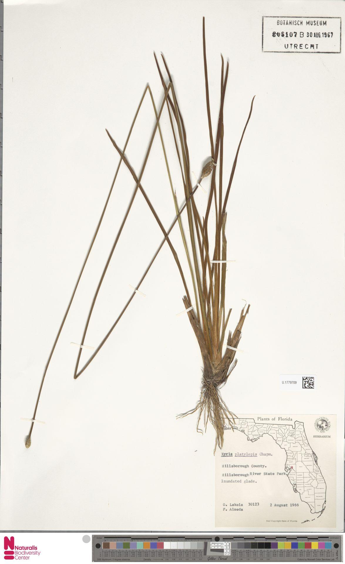 U.1779709 | Xyris platylepis Chapm.