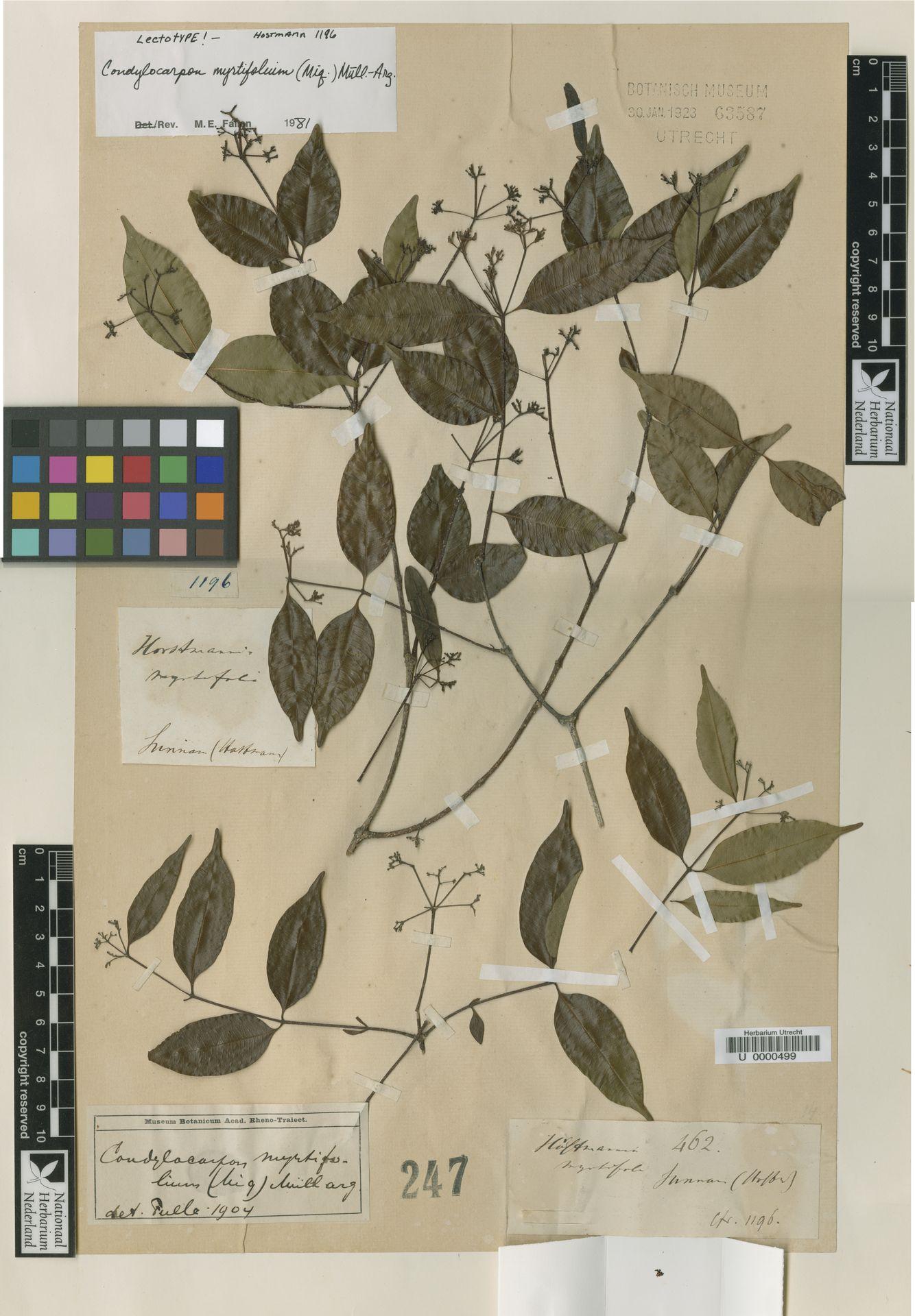 U  0000499   Condylocarpon myrtifolium (Miq.) Müll.Arg.