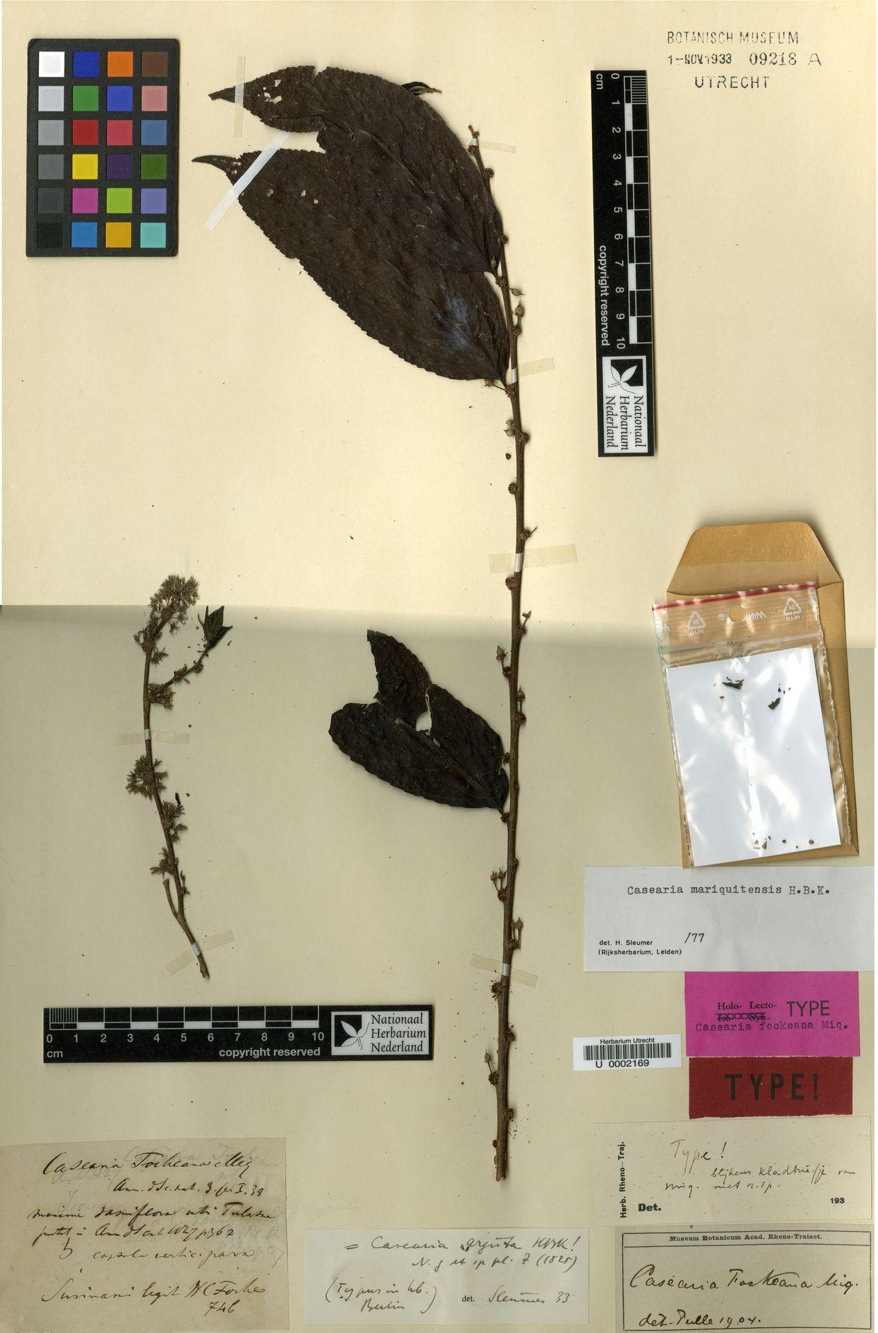 U  0002169   Casearia mariquitensis Kunth