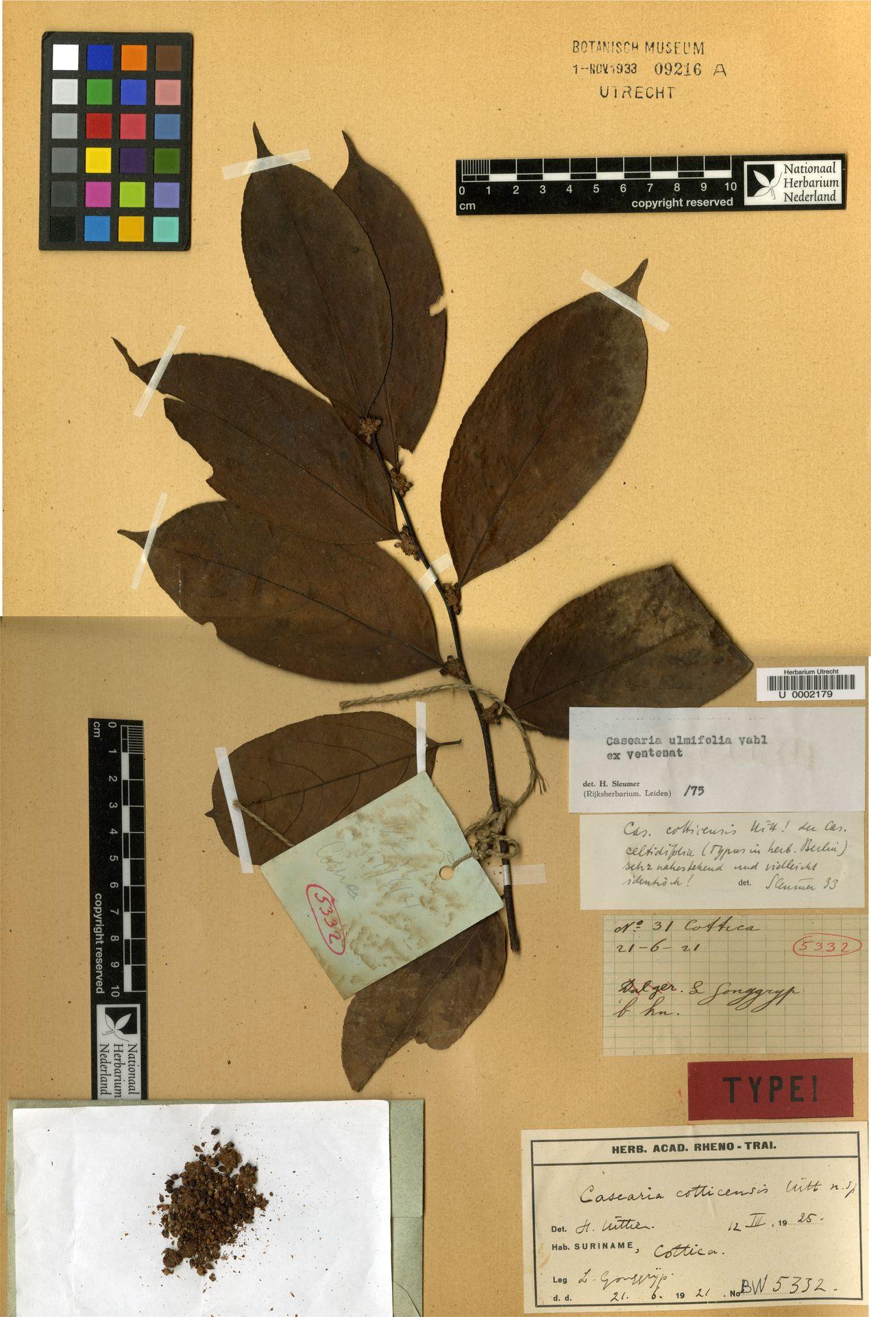 U  0002179 | Casearia ulmifolia Vahl ex Vent.