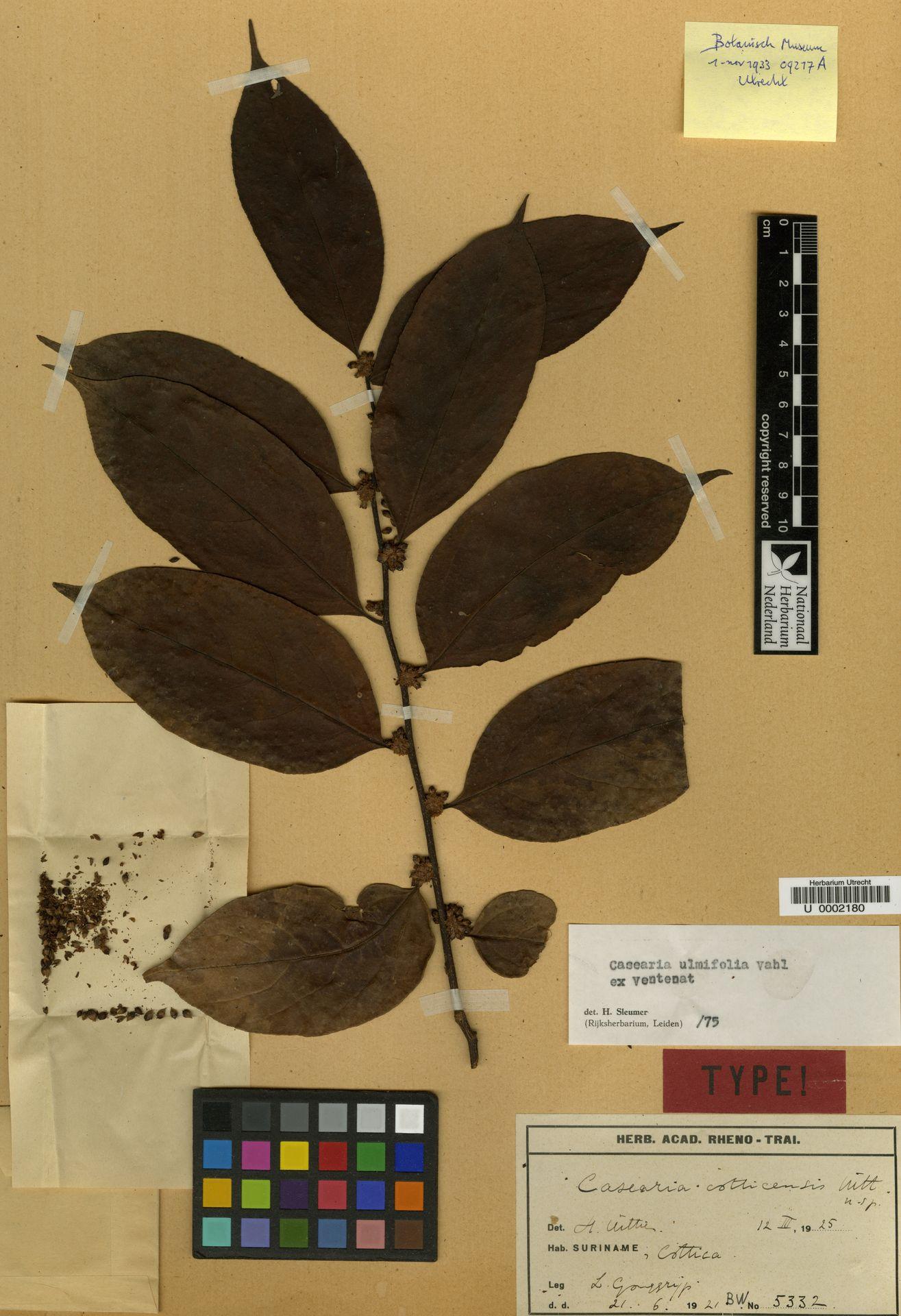 U  0002180 | Casearia ulmifolia Vahl ex Vent.