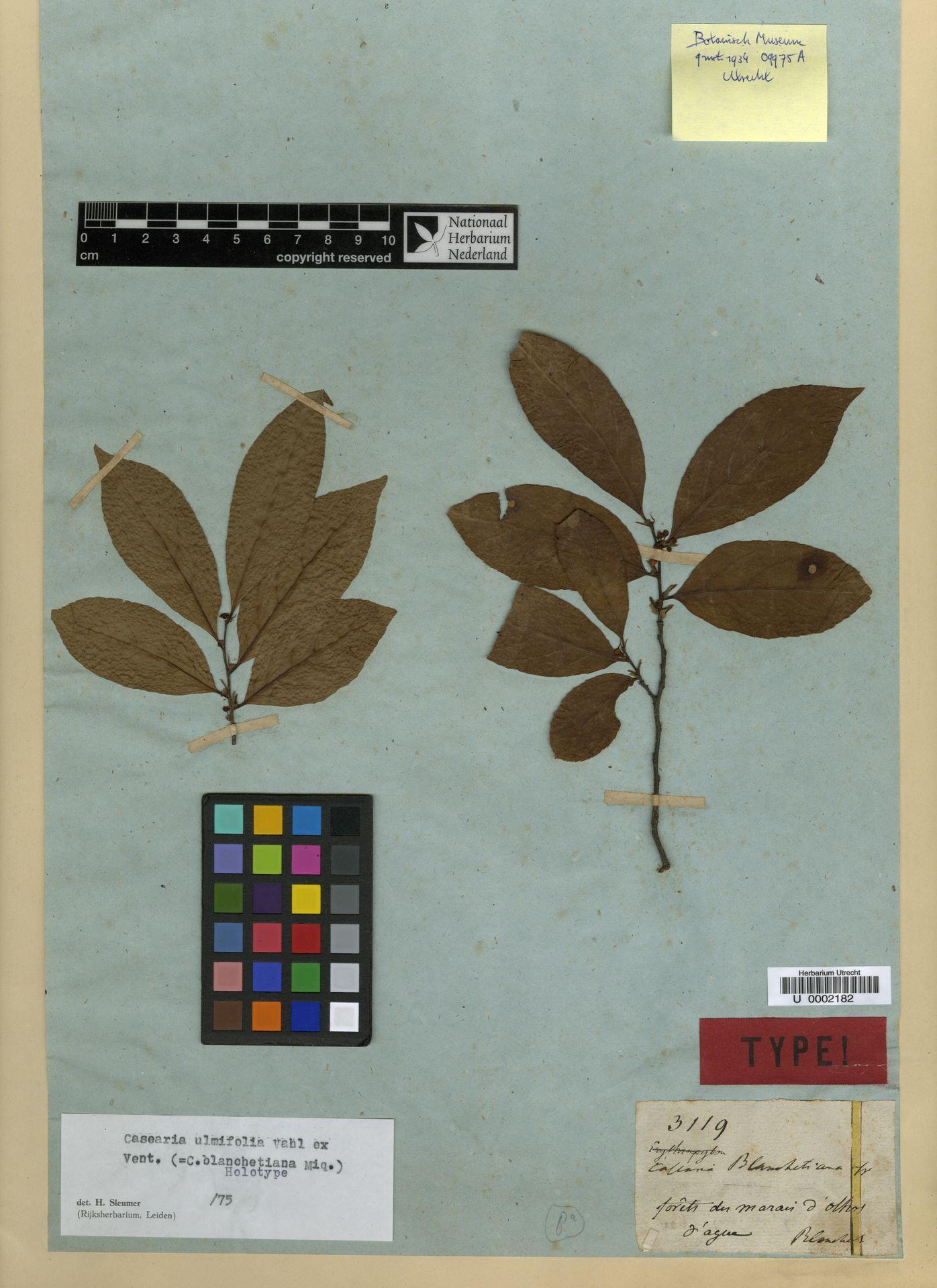 U  0002182 | Casearia ulmifolia Vahl ex Vent.