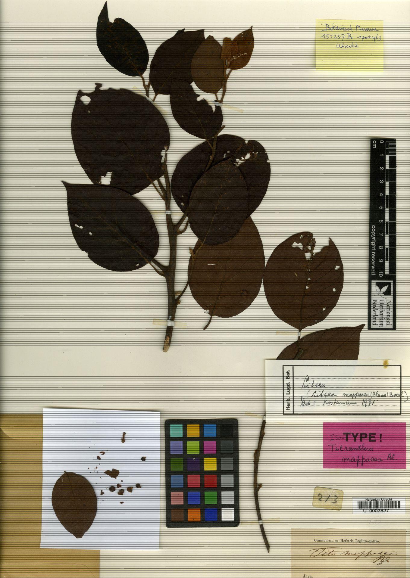 U  0002827 | Litsea mappacea (Blume) Boerl.