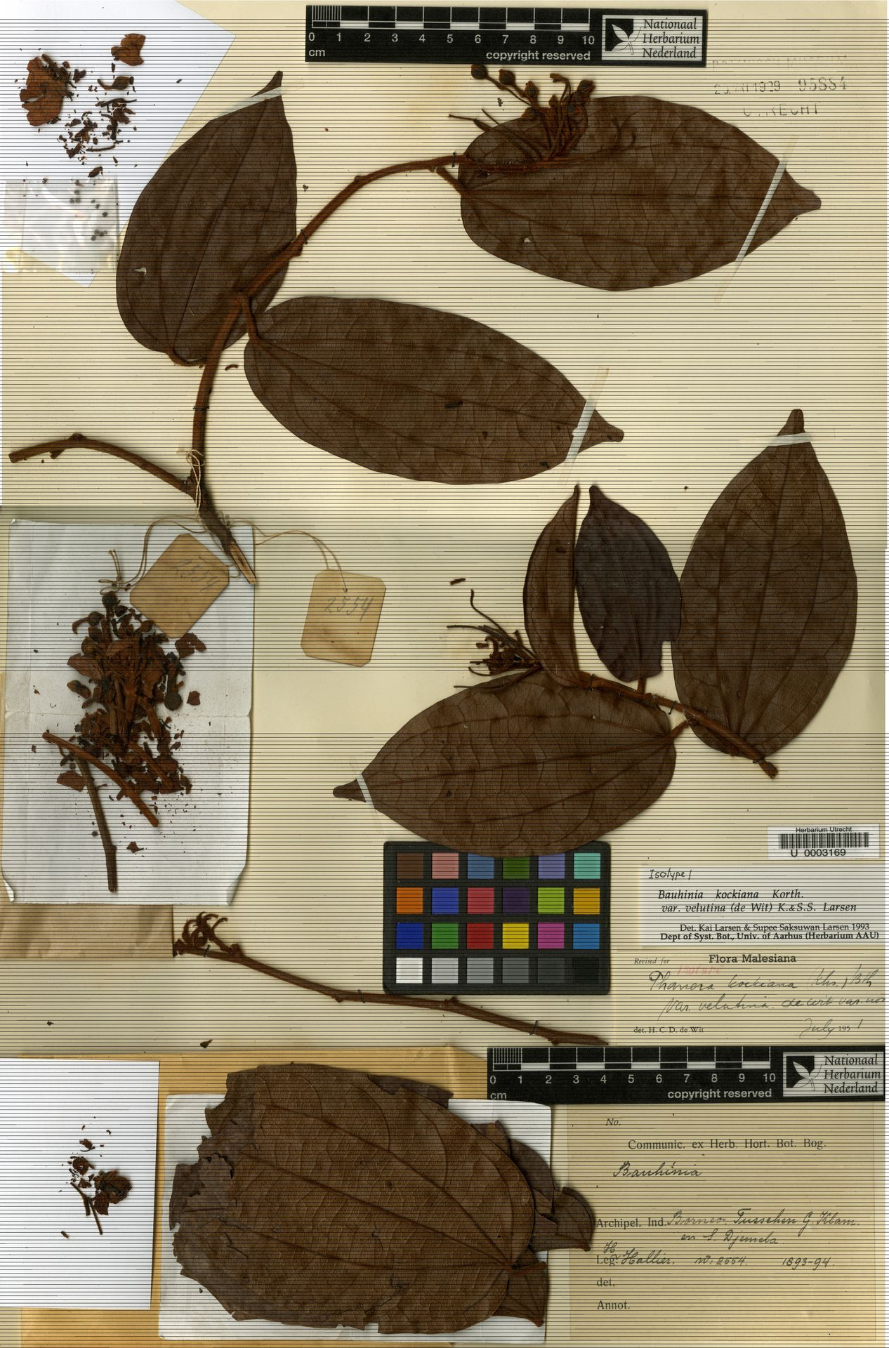 U  0003169 | Bauhinia kockiana var. velutina (de Wit) K.Larsen & S.S.Larsen