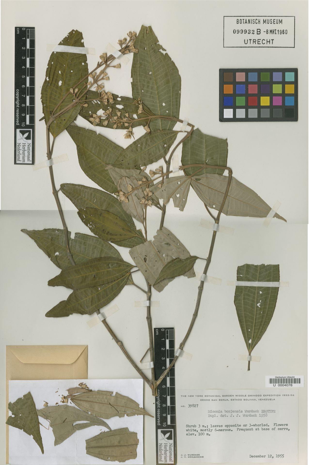 U  0004078 | Miconia borjensis Wurdack