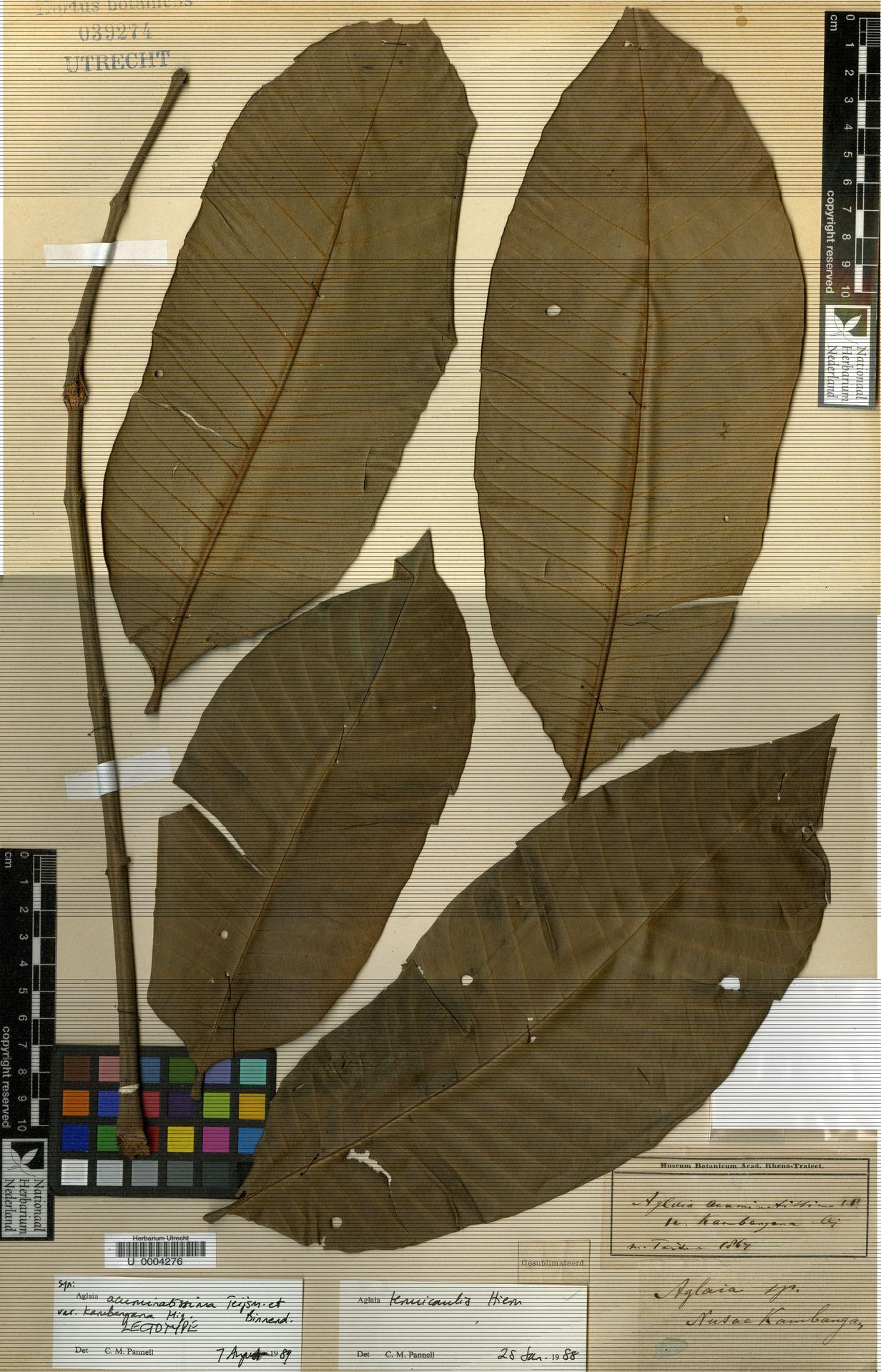 U  0004276   Aglaia tenuicaulis Hiern