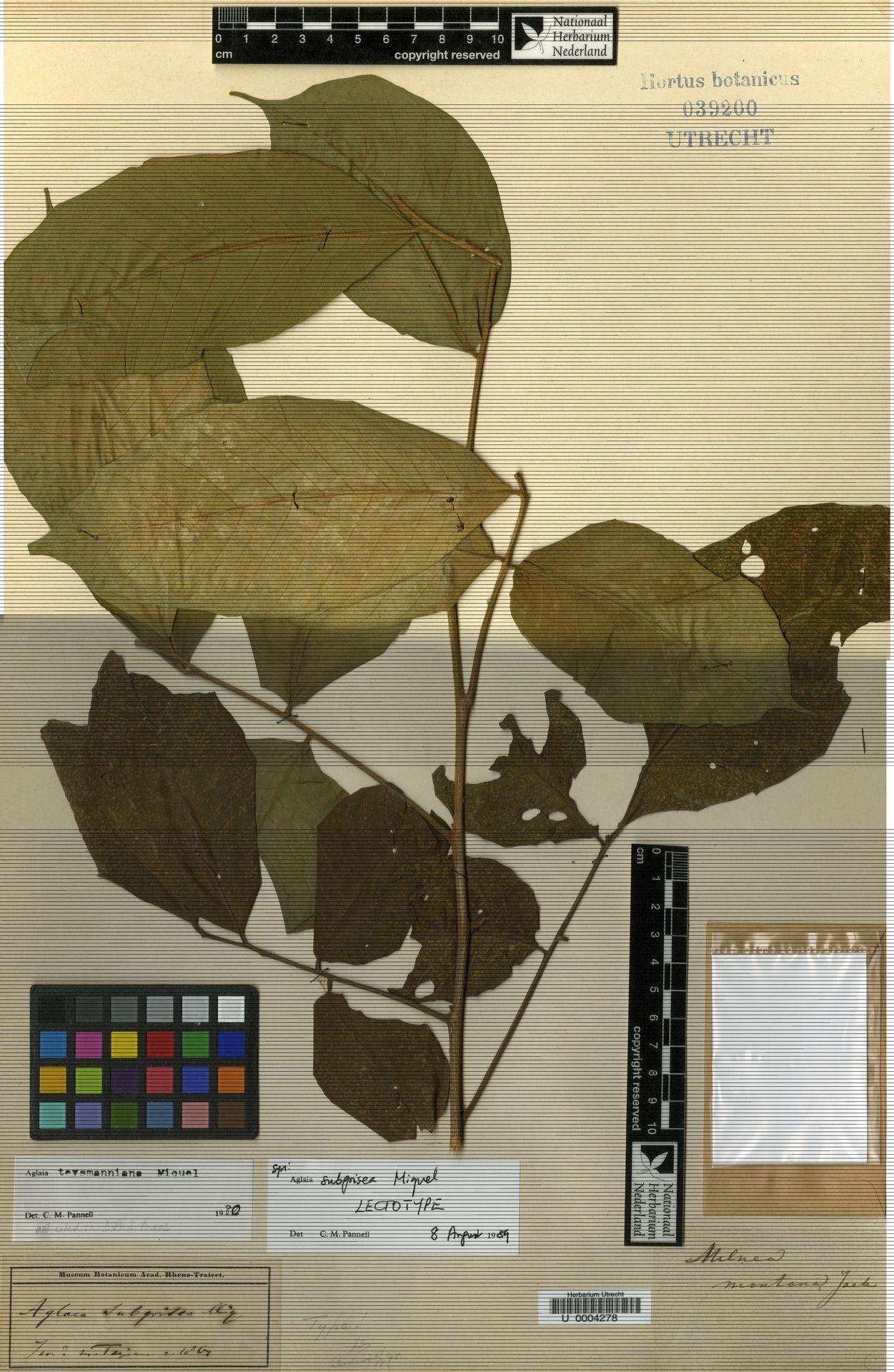 U  0004278 | Aglaia teysmanniana (Miq.) Miq.