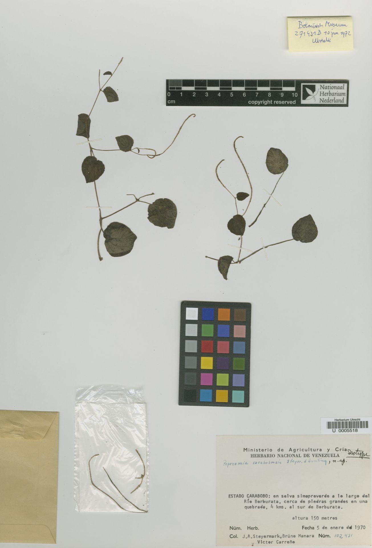 U  0005518 | Peperomia carabobensis Steyerm. & G.S.Bunting