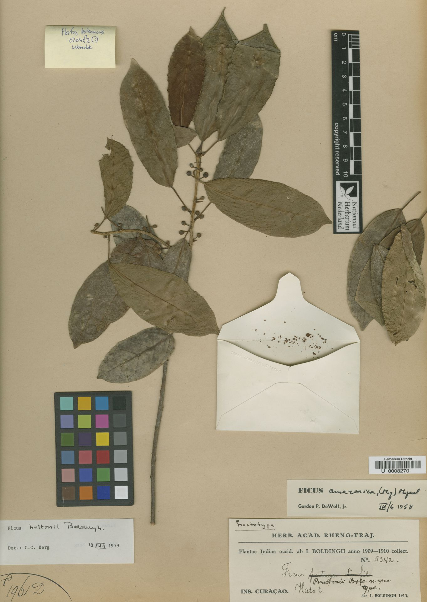U  0008270 | Ficus brittonii Bold.