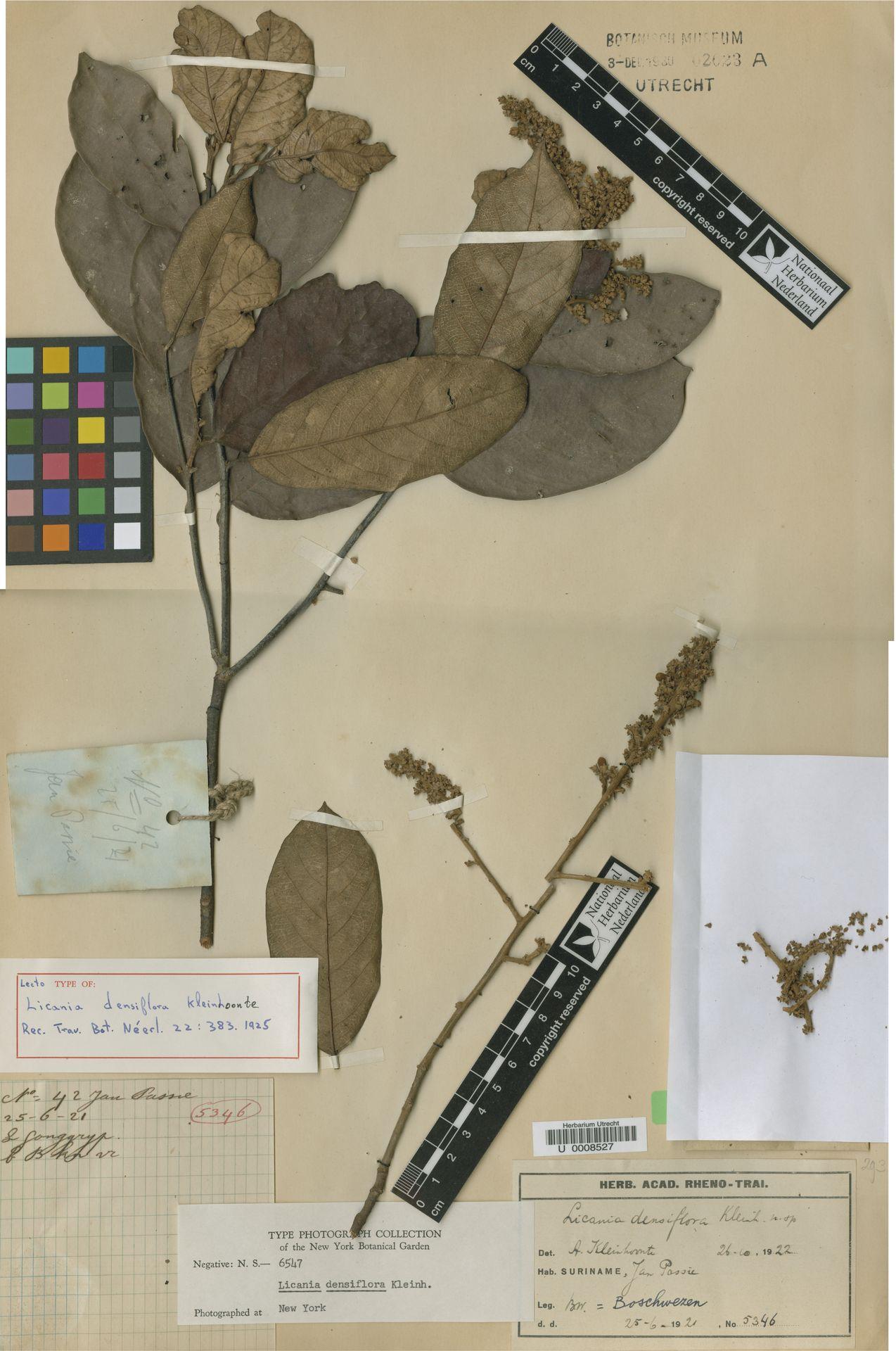 U  0008527   Licania densiflora Kleinh.