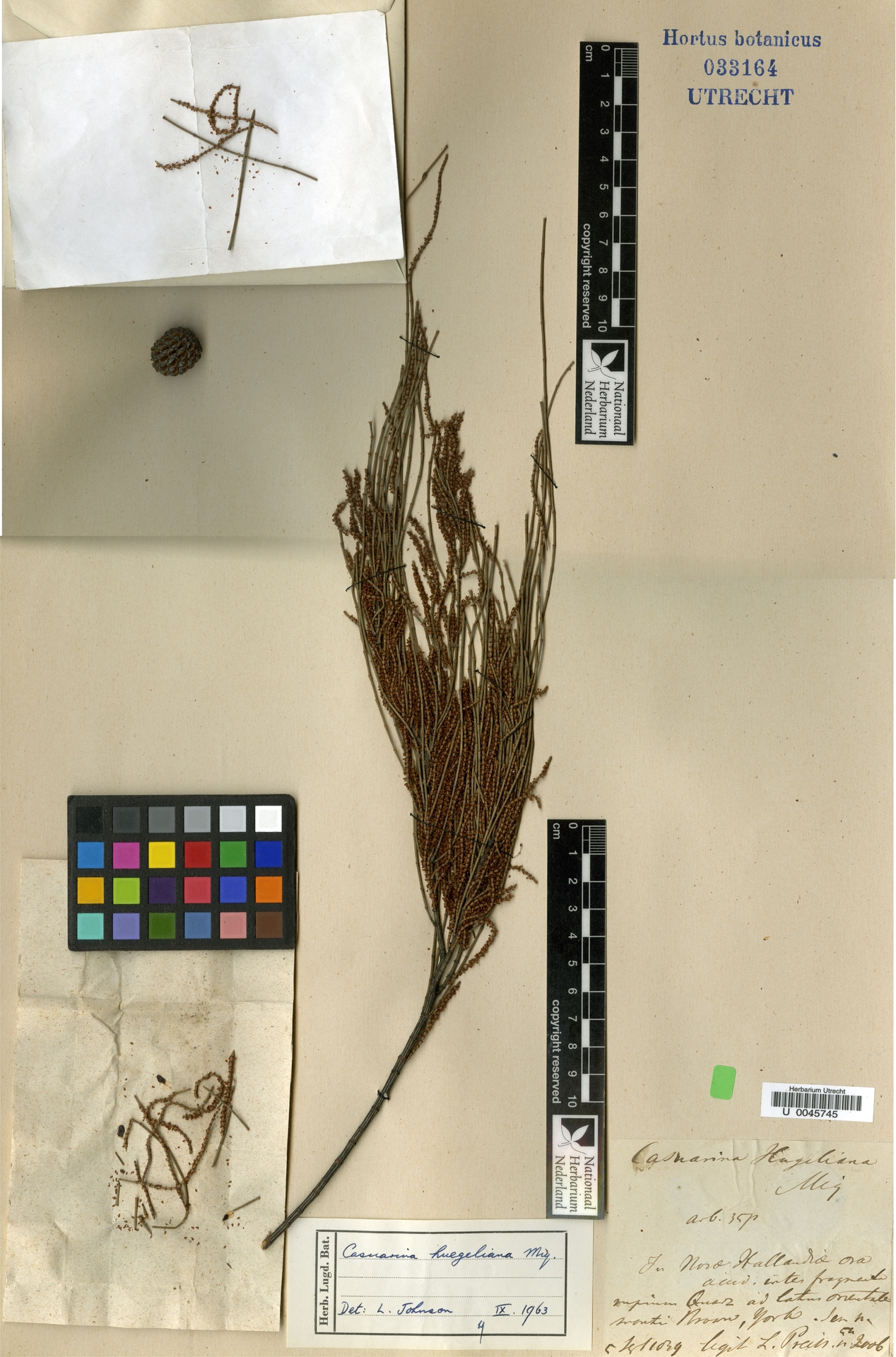 U  0045745   Allocasuarina huegeliana (Miq.) L.A.S.Johnson