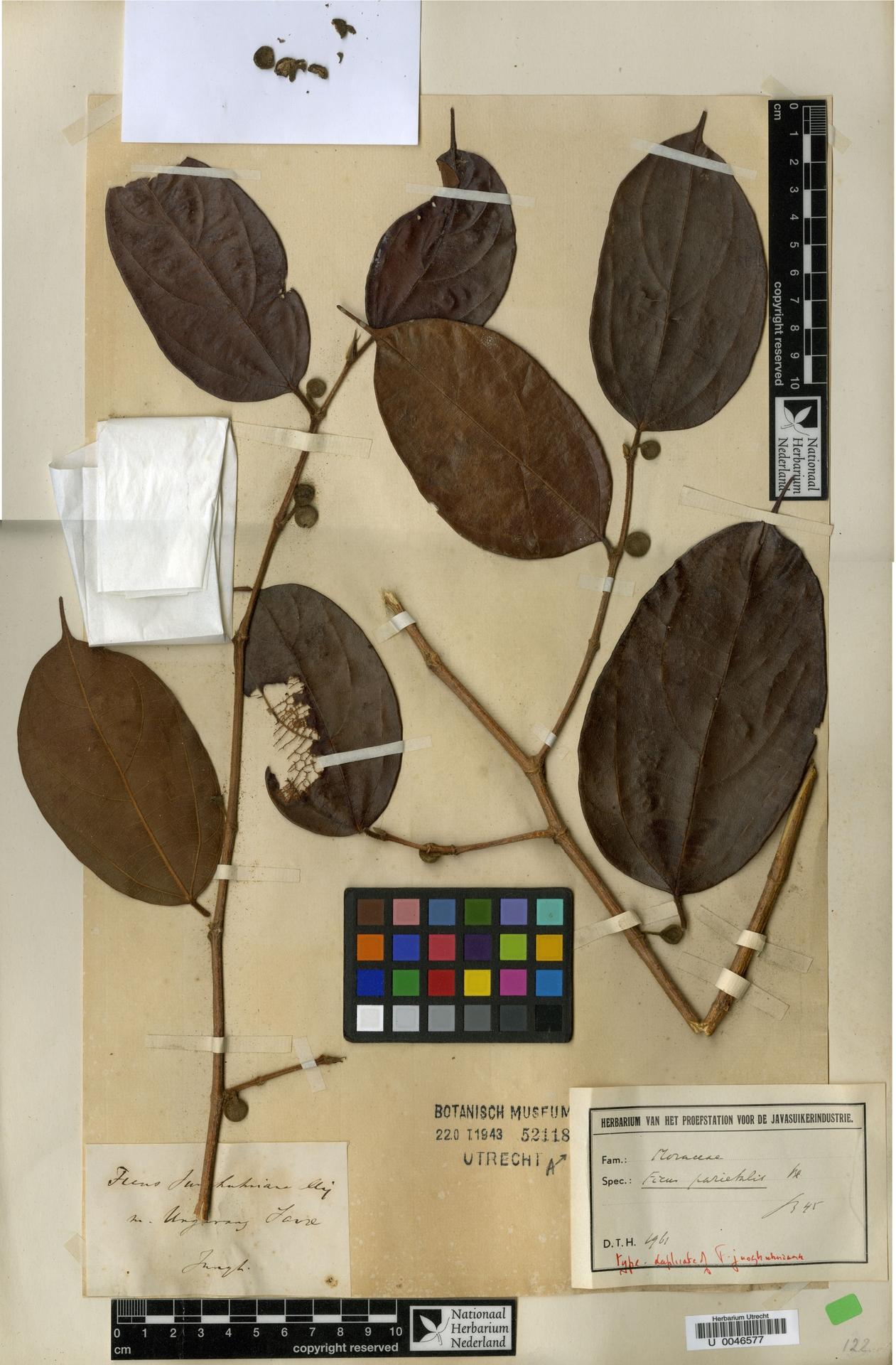 U  0046577 | Ficus parietalis Blume