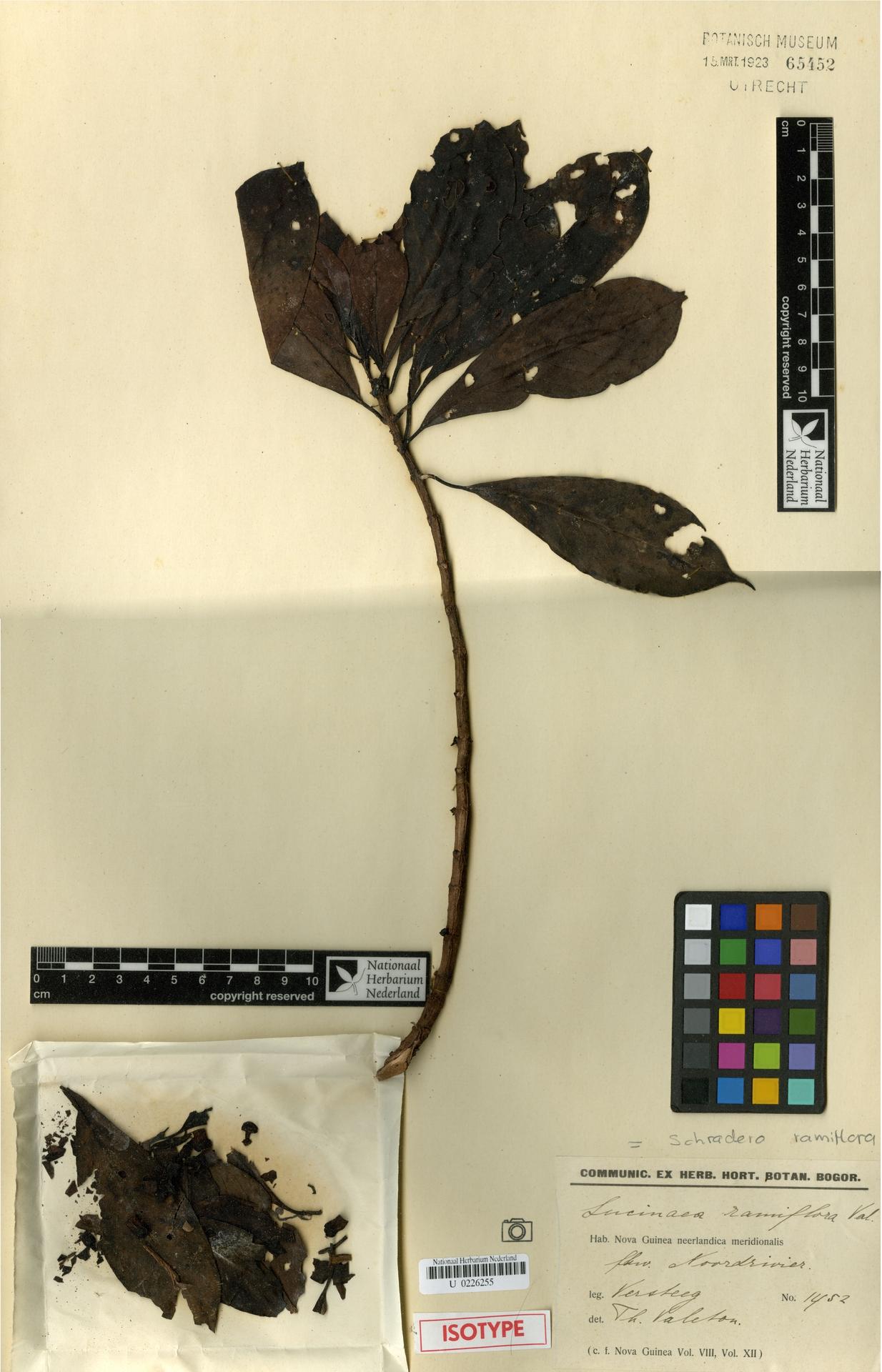 U  0226255 | Schradera ramiflora (Valeton) Puff, R.Buchner & Greimler