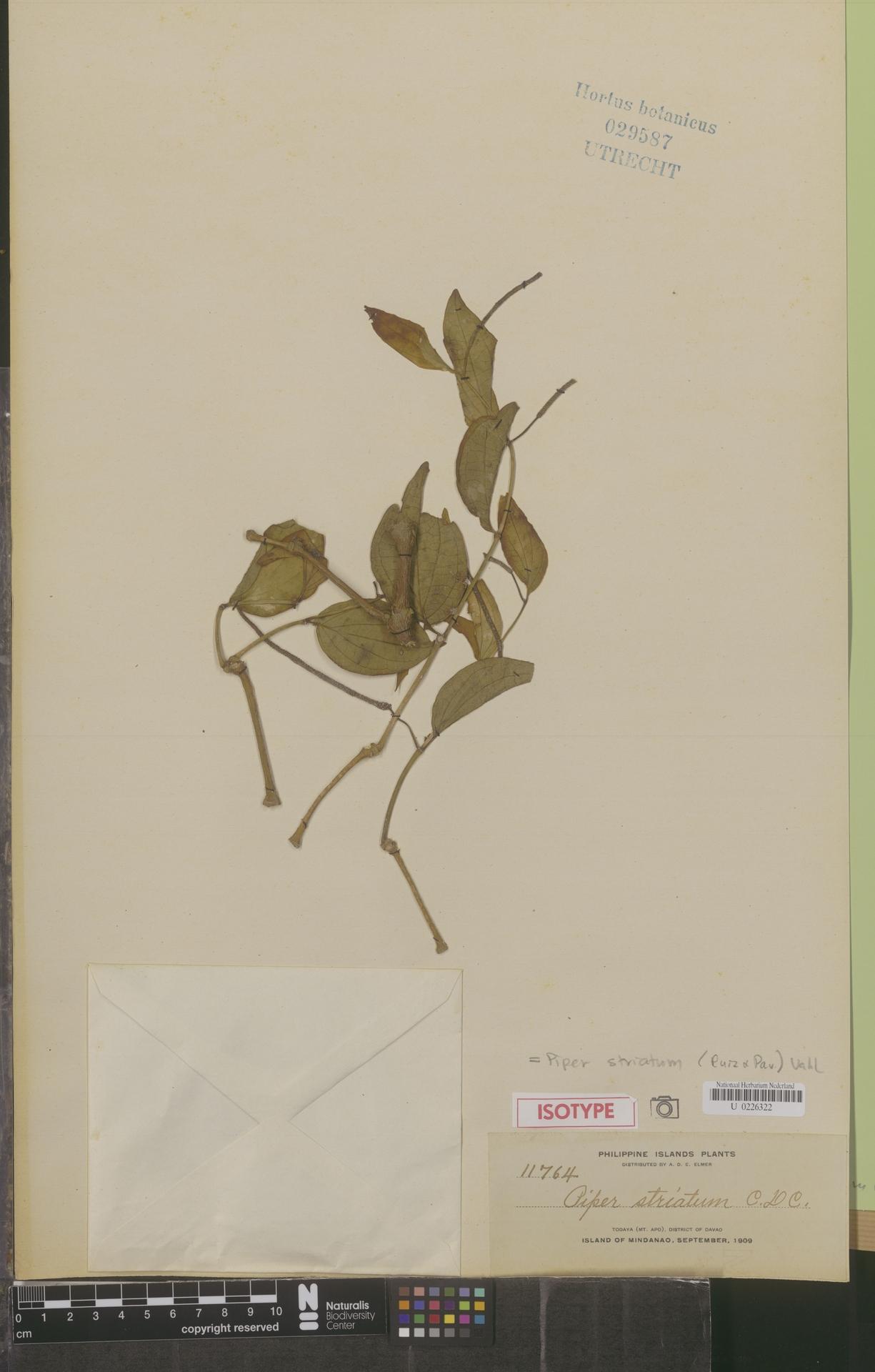 U  0226322 | Piper striatum (Ruiz & Pav.) Vahl