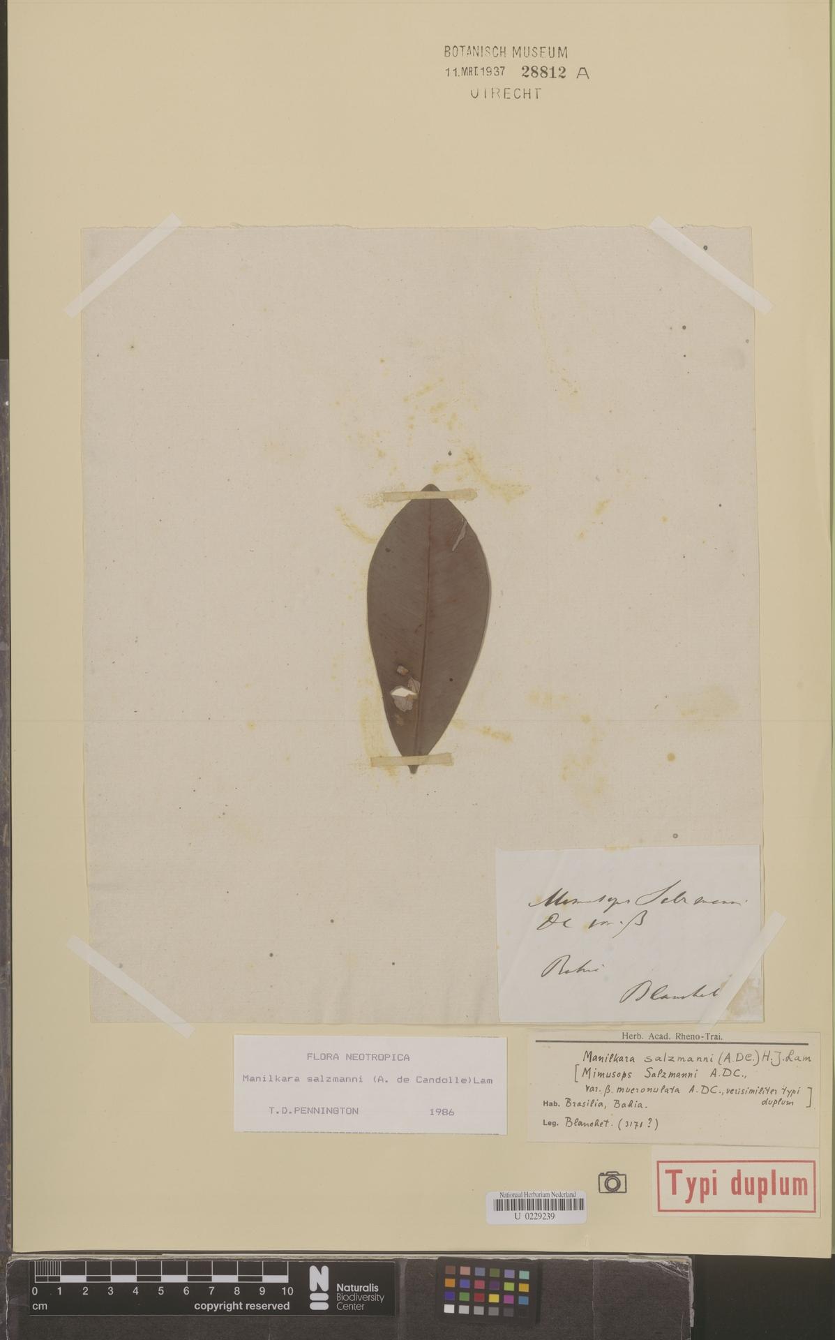 U  0229239 | Manilkara salzmannii (A.DC.) H.J.Lam