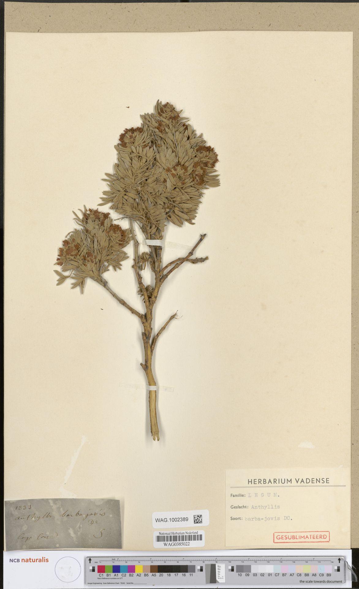 WAG.1002389 | Anthyllis barba-jovis L.