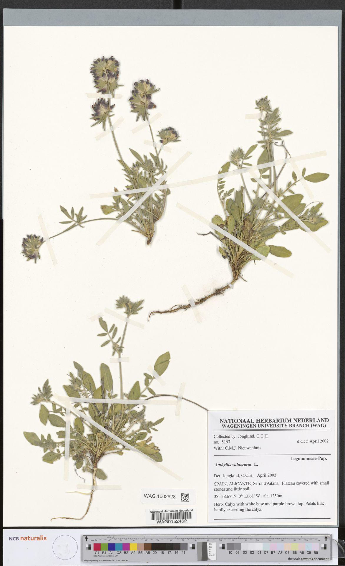 WAG.1002628 | Anthyllis vulneraria L.