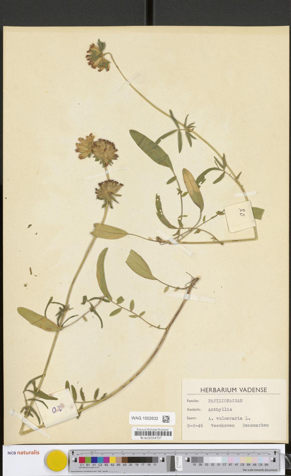 WAG.1002632 | Anthyllis vulneraria L.