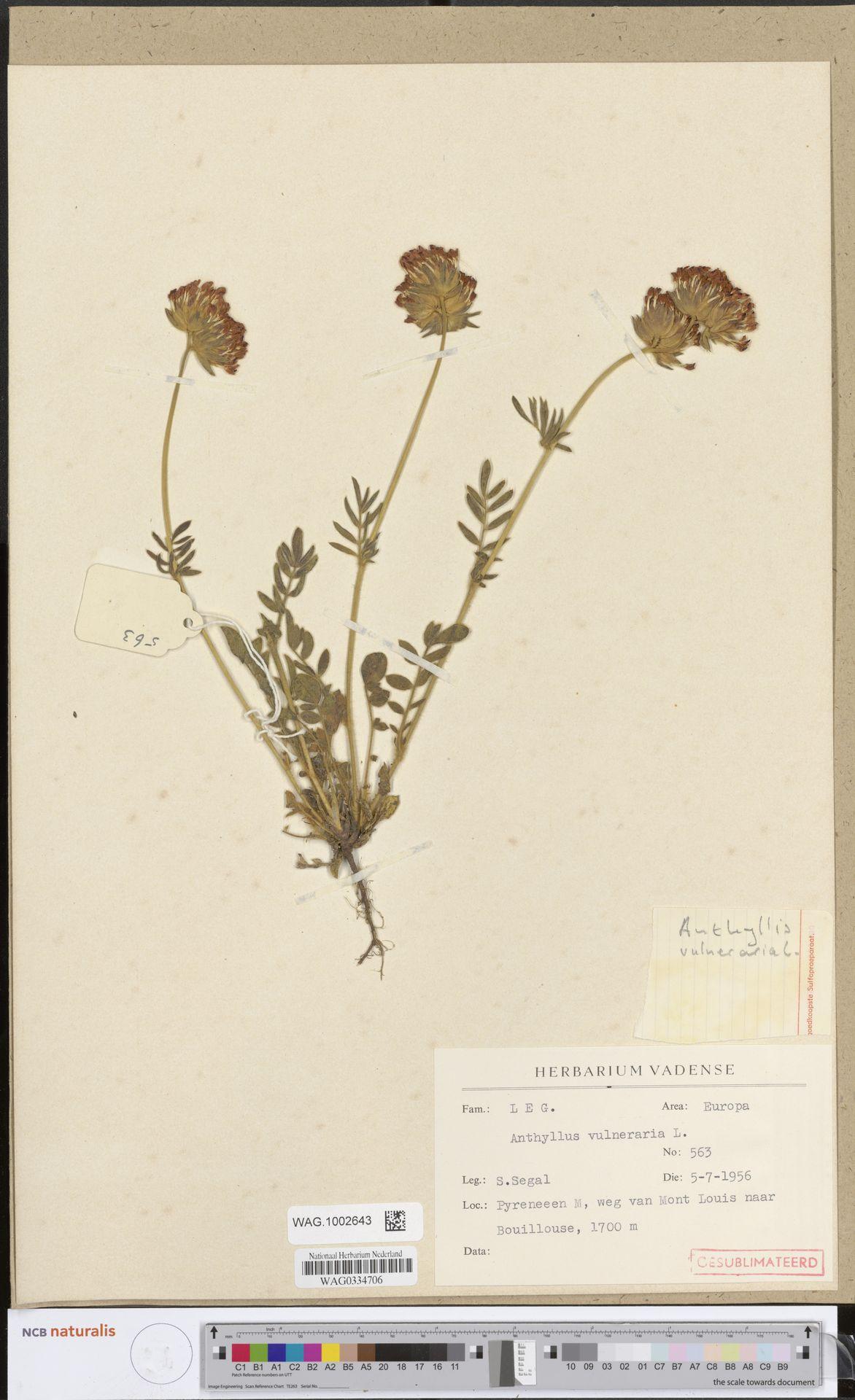 WAG.1002643   Anthyllis vulneraria L.