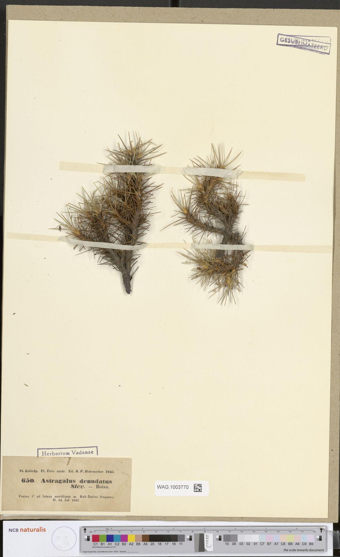 WAG.1003770   Astragalus denudatus Steven