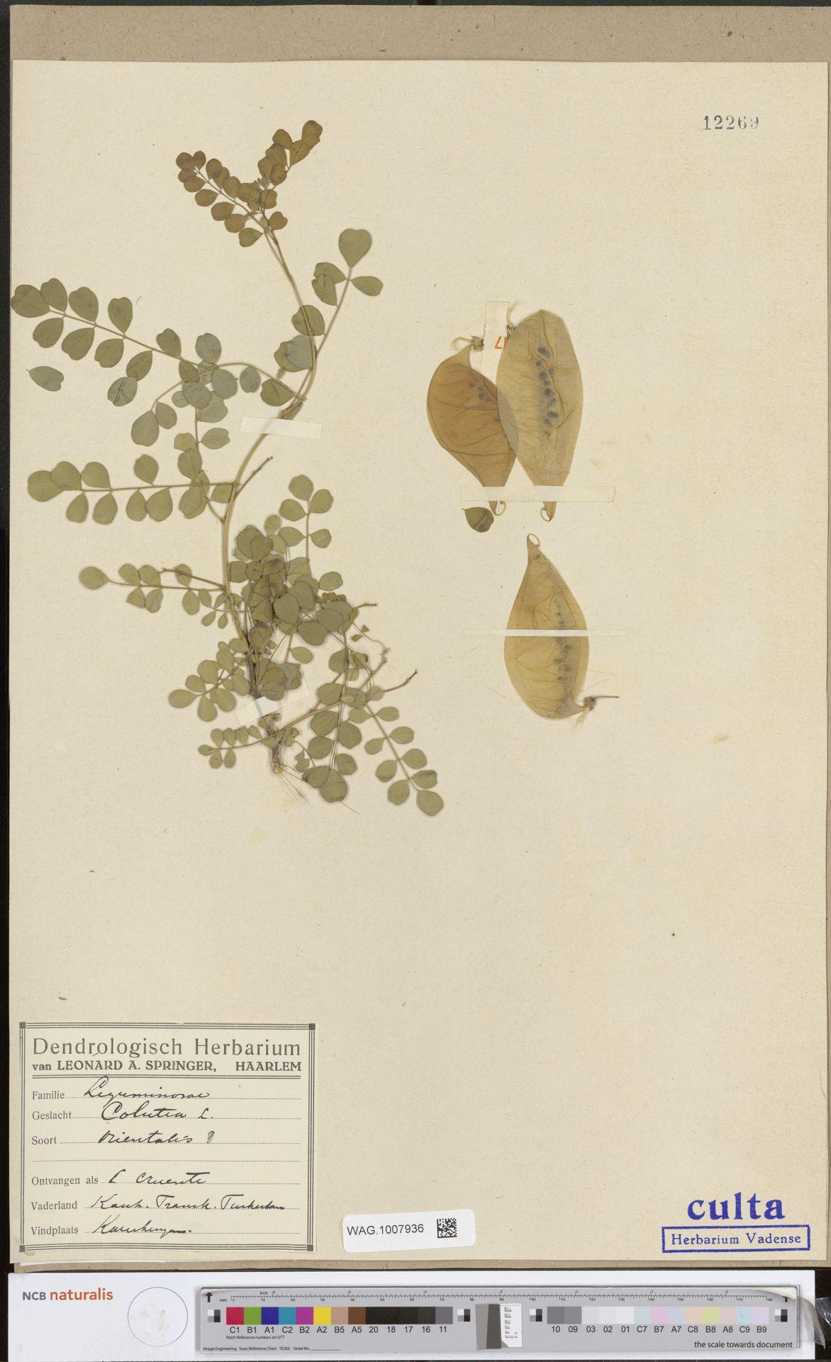 WAG.1007936 | Colutea orientalis Mill.