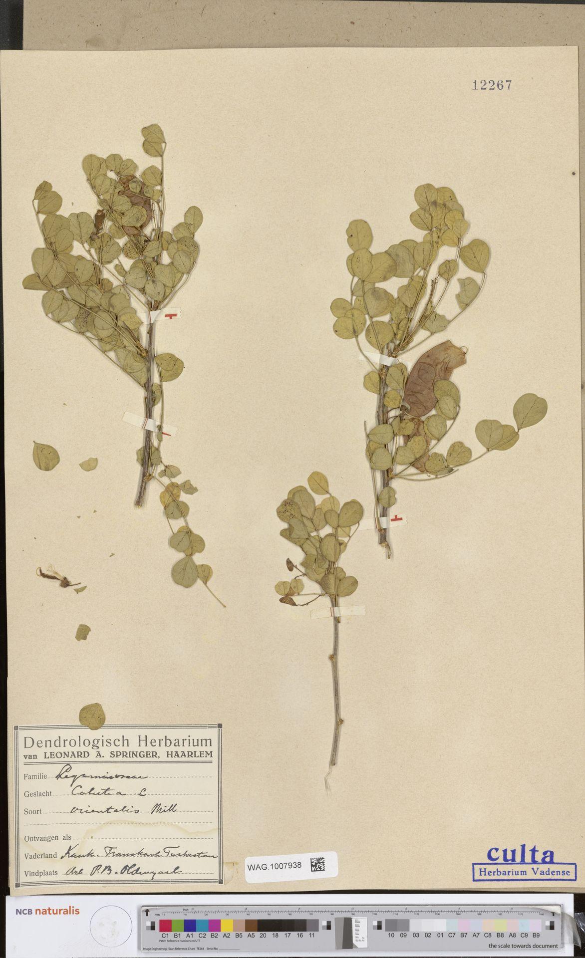 WAG.1007938 | Colutea orientalis Mill.