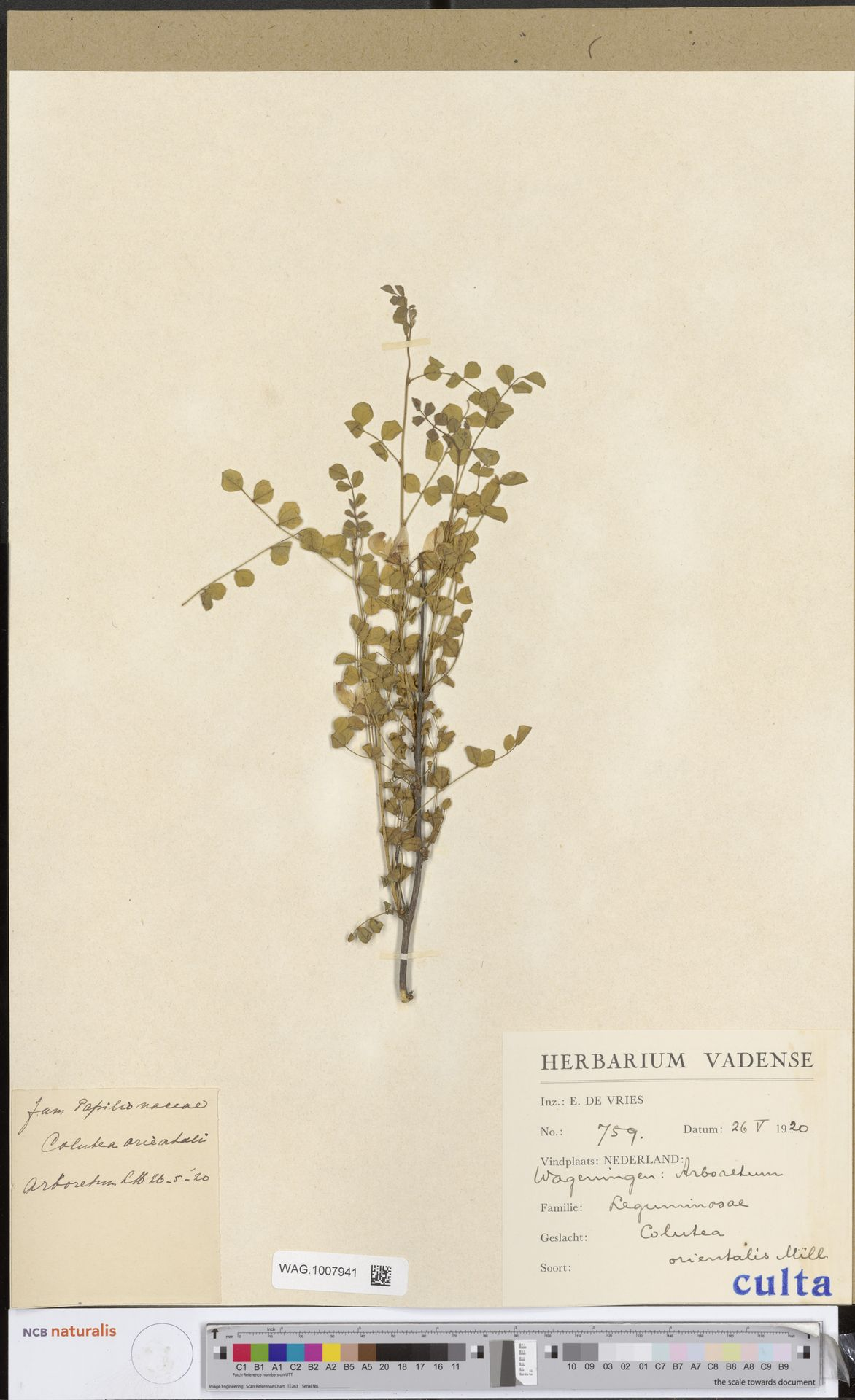 WAG.1007941 | Colutea orientalis Mill.