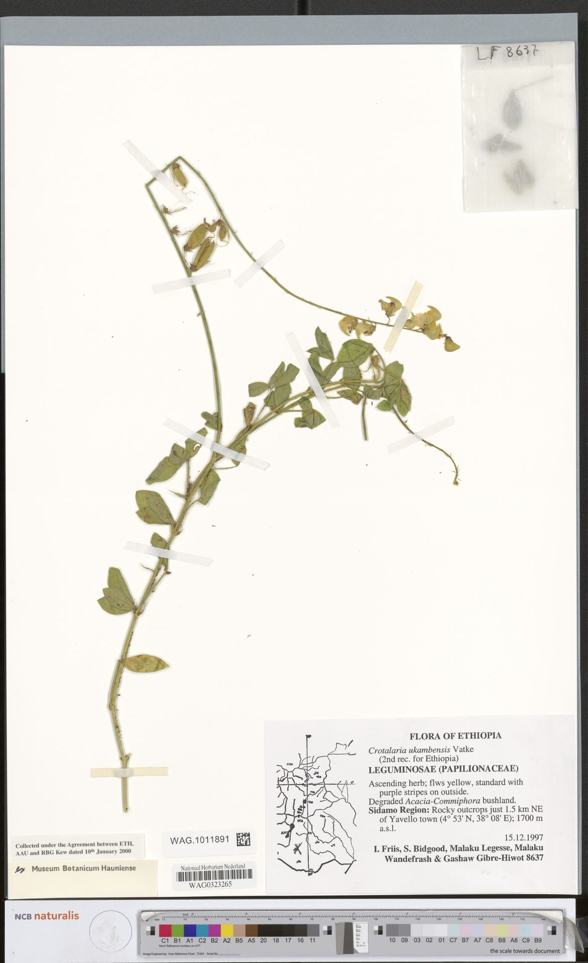 WAG.1011891 | Crotalaria ukambensis Vatke