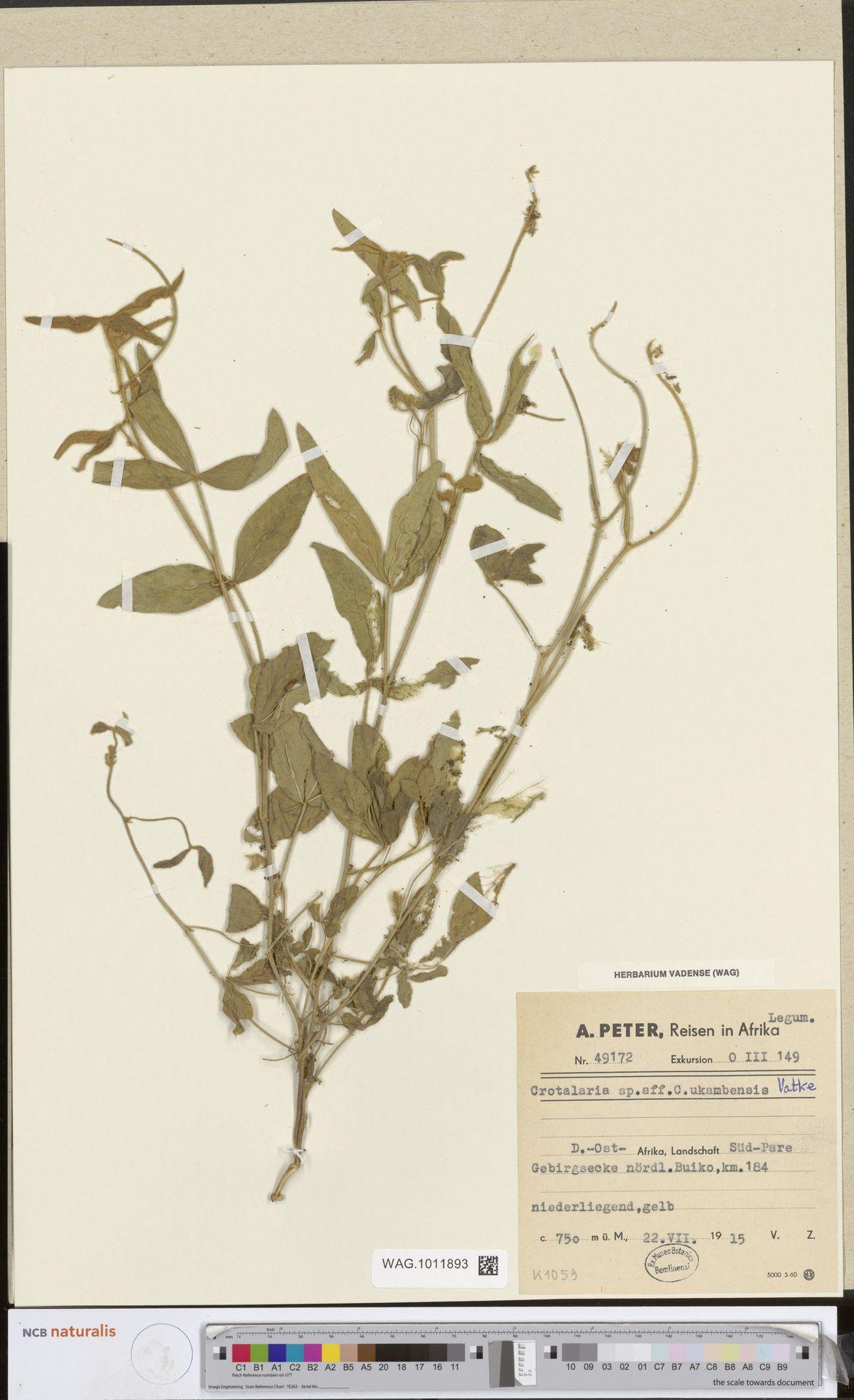 WAG.1011893 | Crotalaria ukambensis Vatke