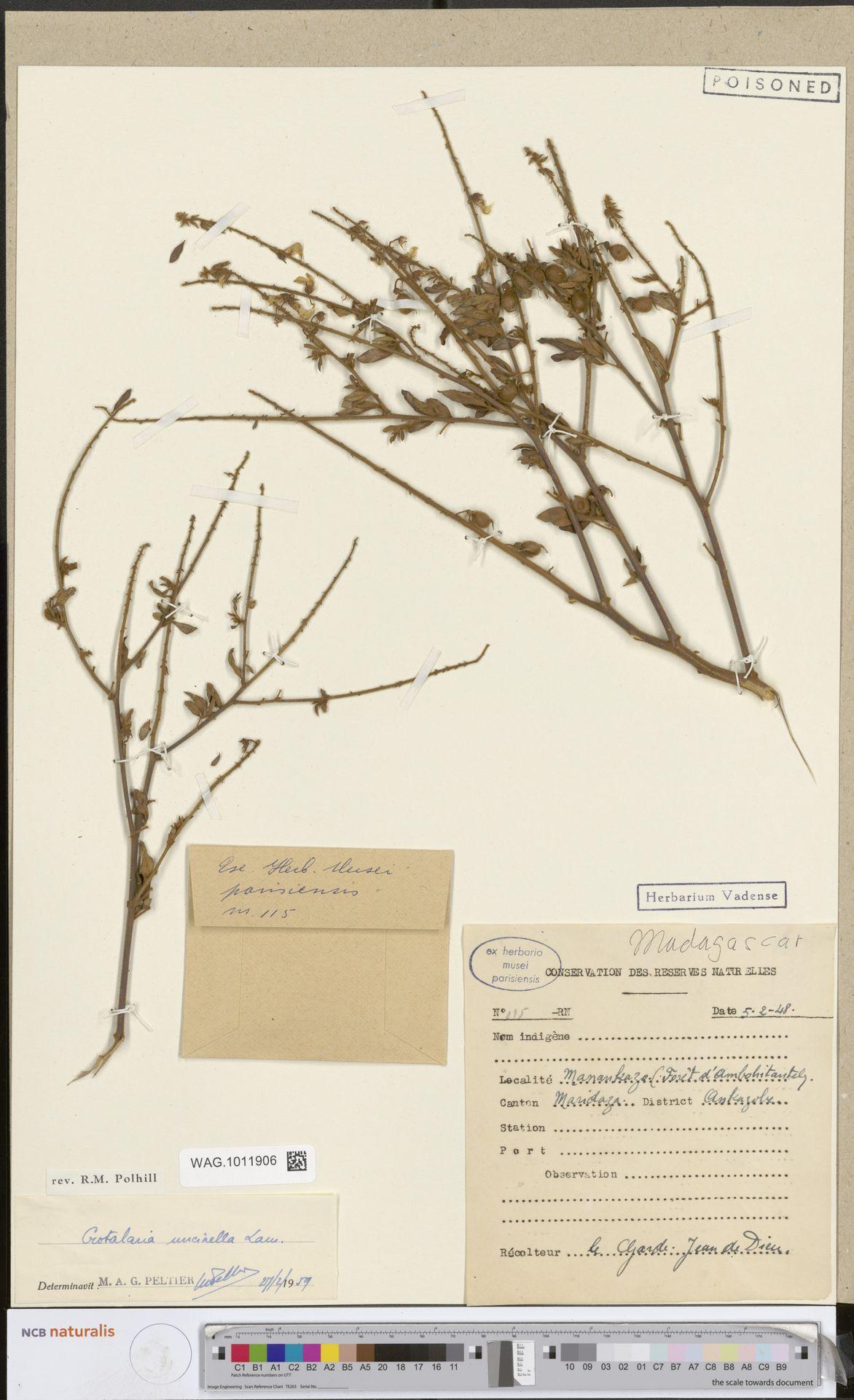WAG.1011906 | Crotalaria uncinella Lam.