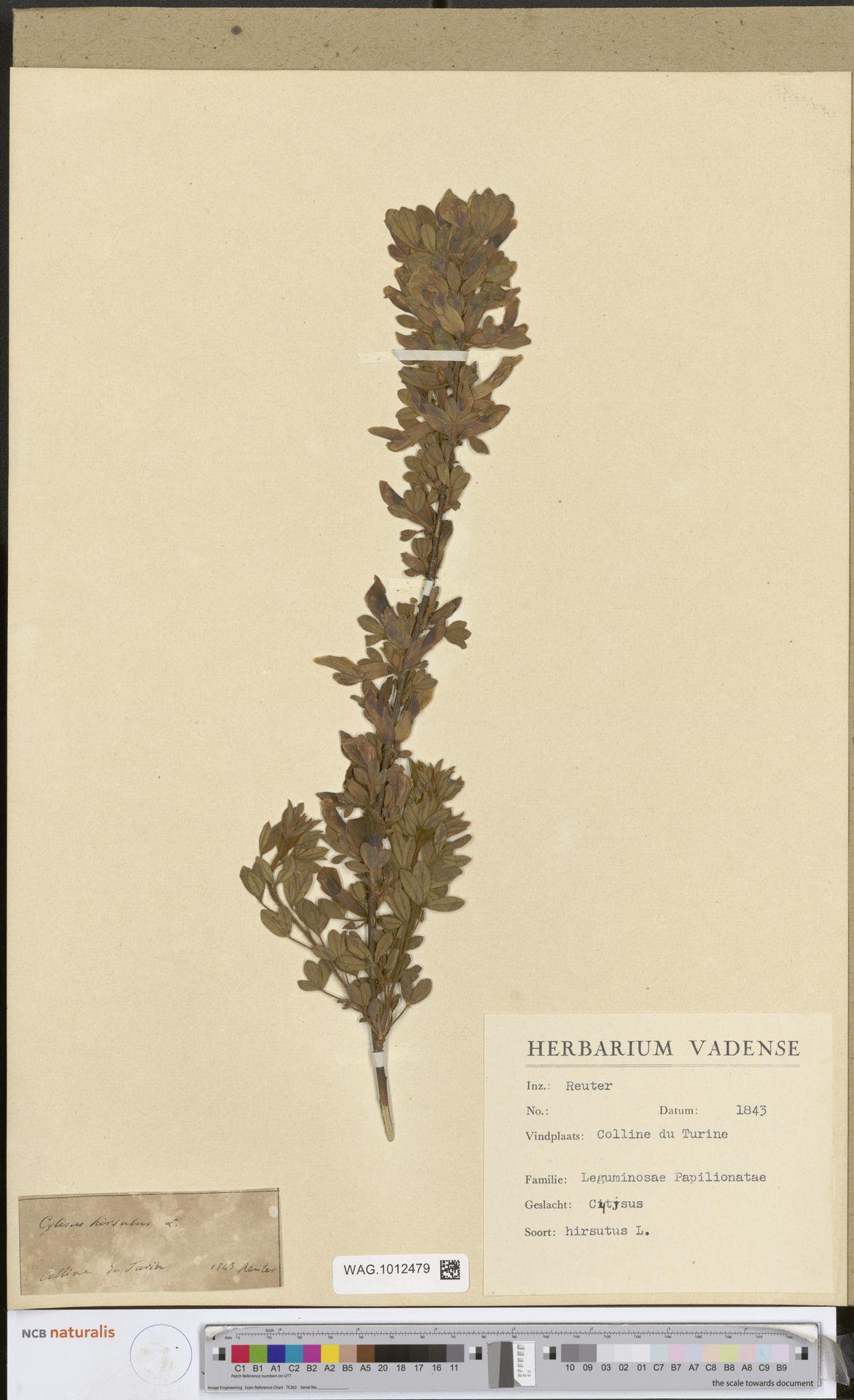 WAG.1012479 | Cytisus hirsutus L.