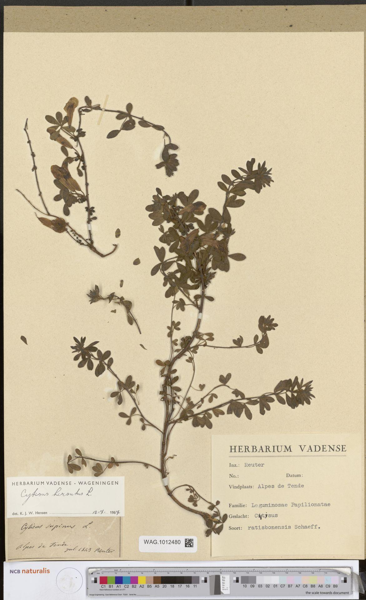 WAG.1012480 | Cytisus hirsutus L.