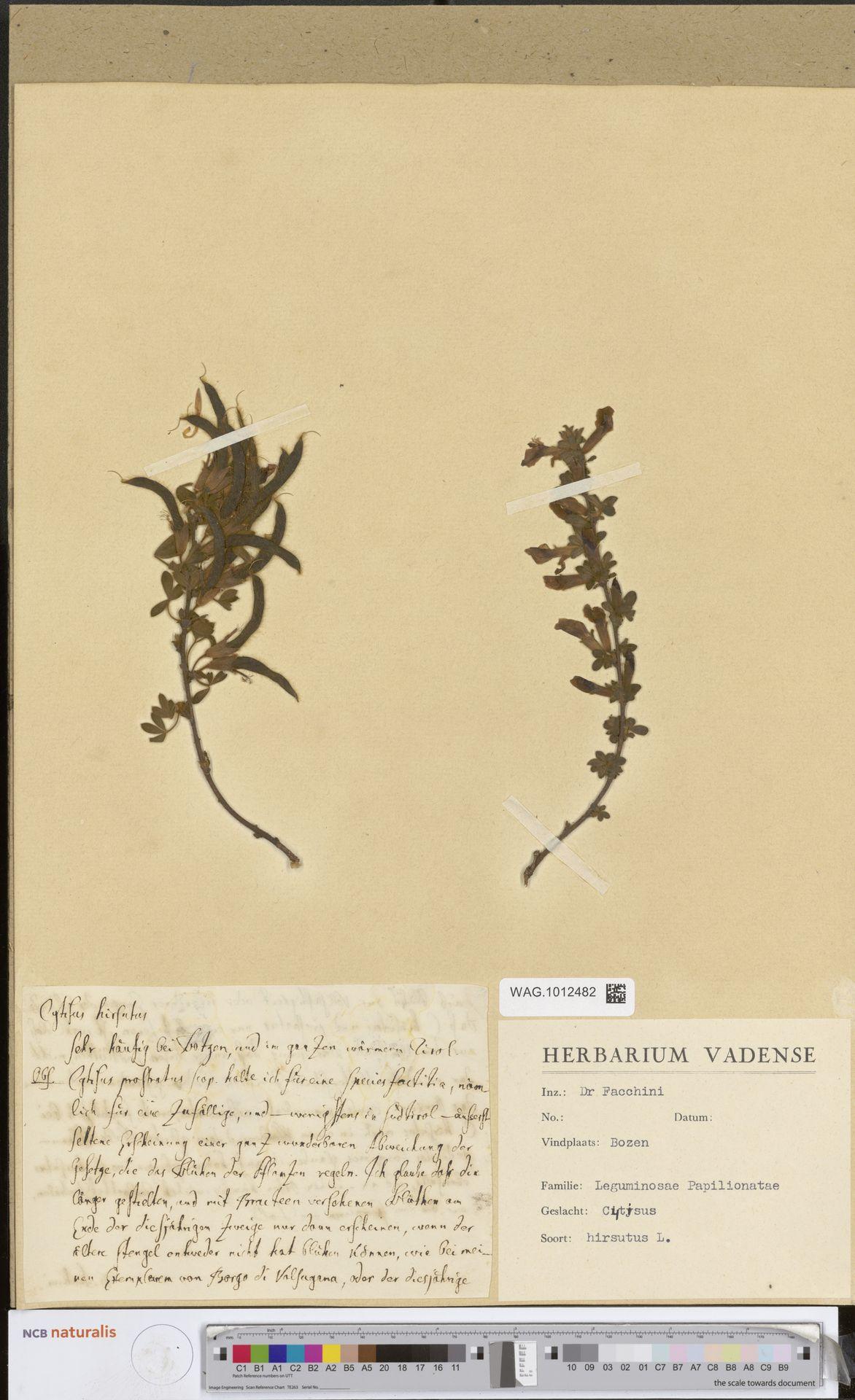 WAG.1012482   Cytisus hirsutus L.