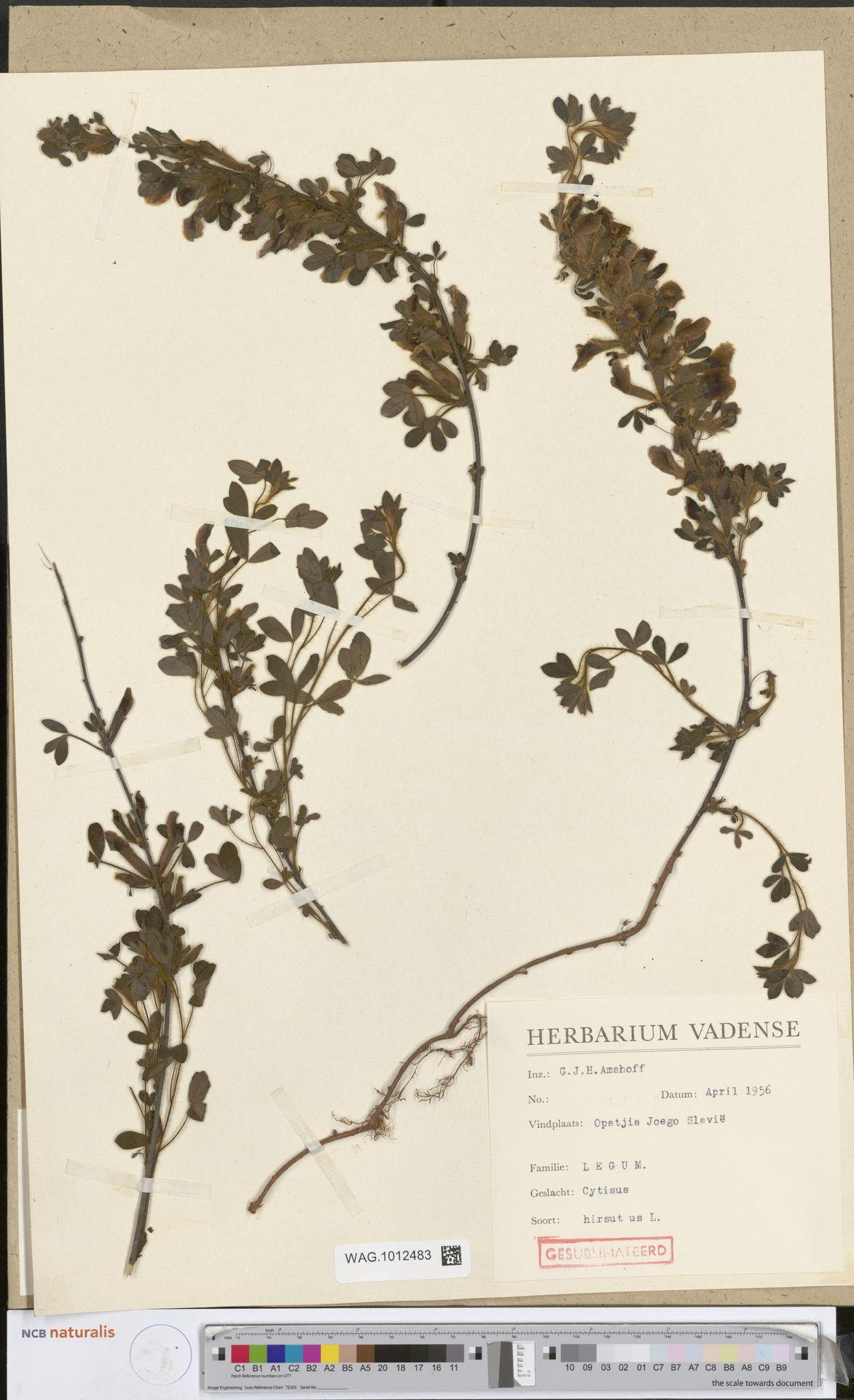 WAG.1012483 | Cytisus hirsutus L.