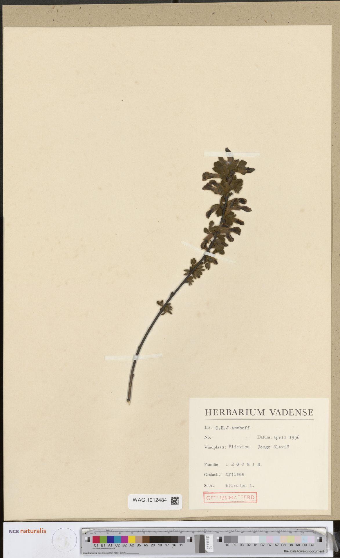 WAG.1012484 | Cytisus hirsutus L.