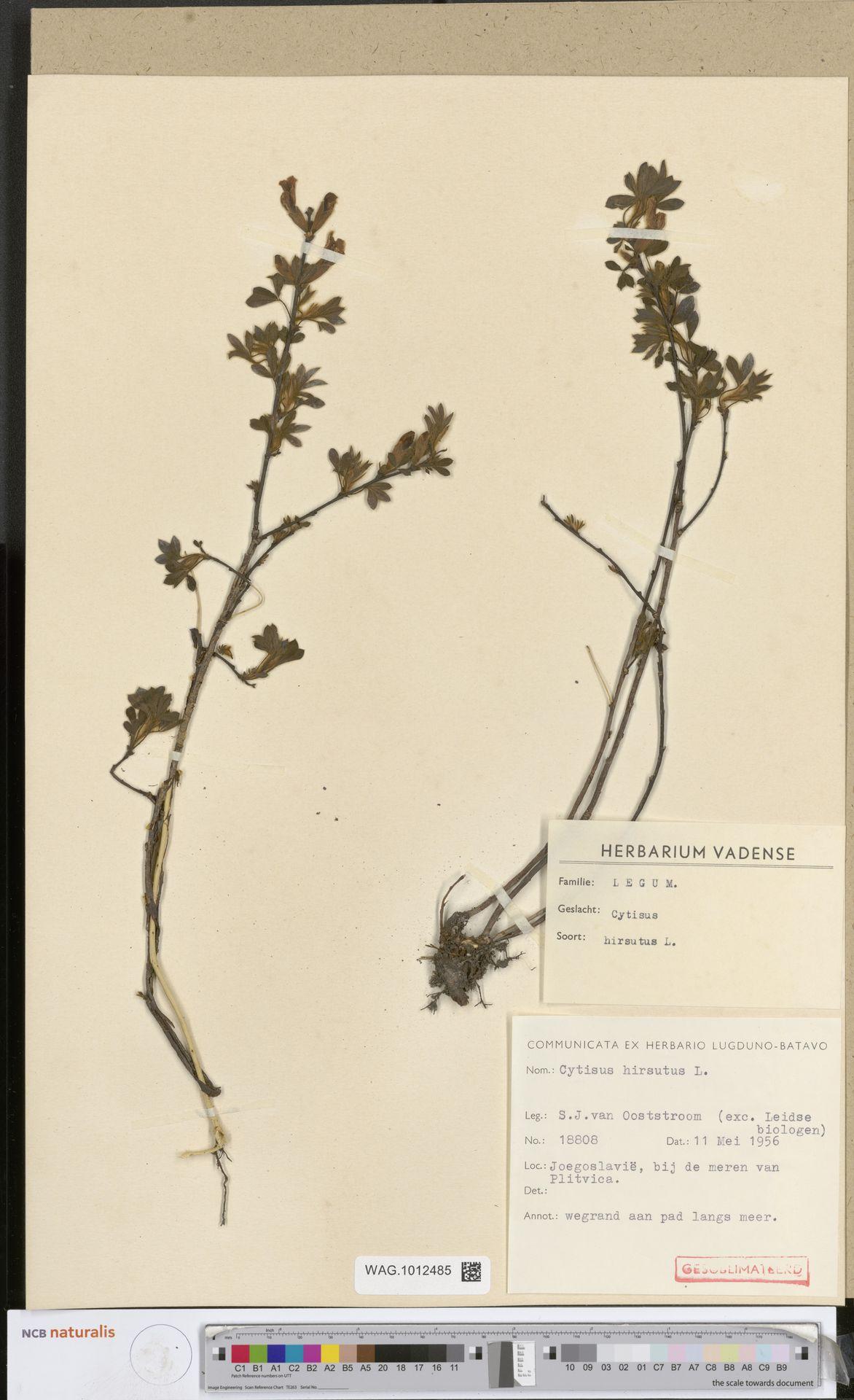 WAG.1012485 | Cytisus hirsutus L.