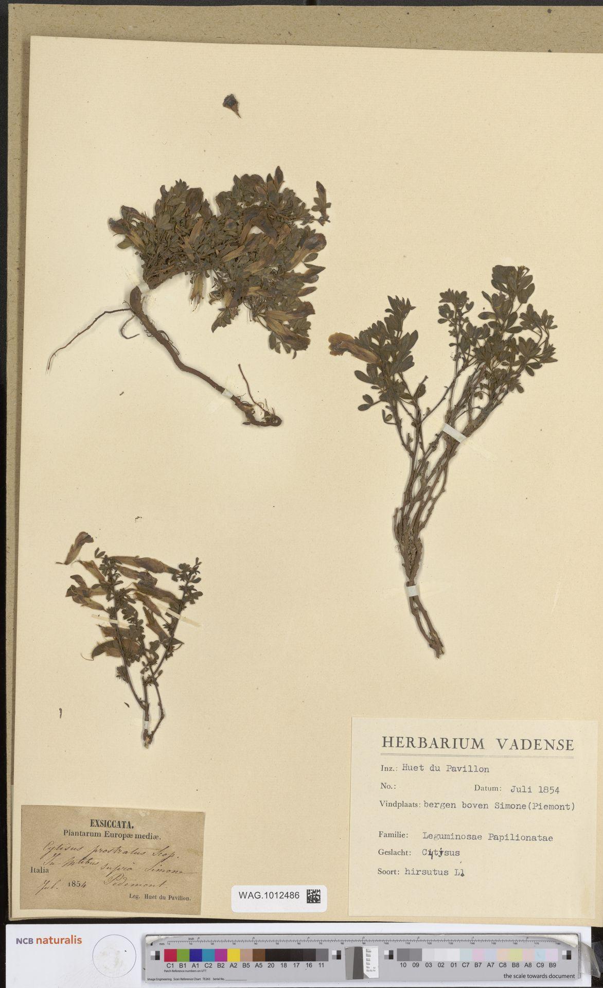 WAG.1012486 | Cytisus hirsutus L.