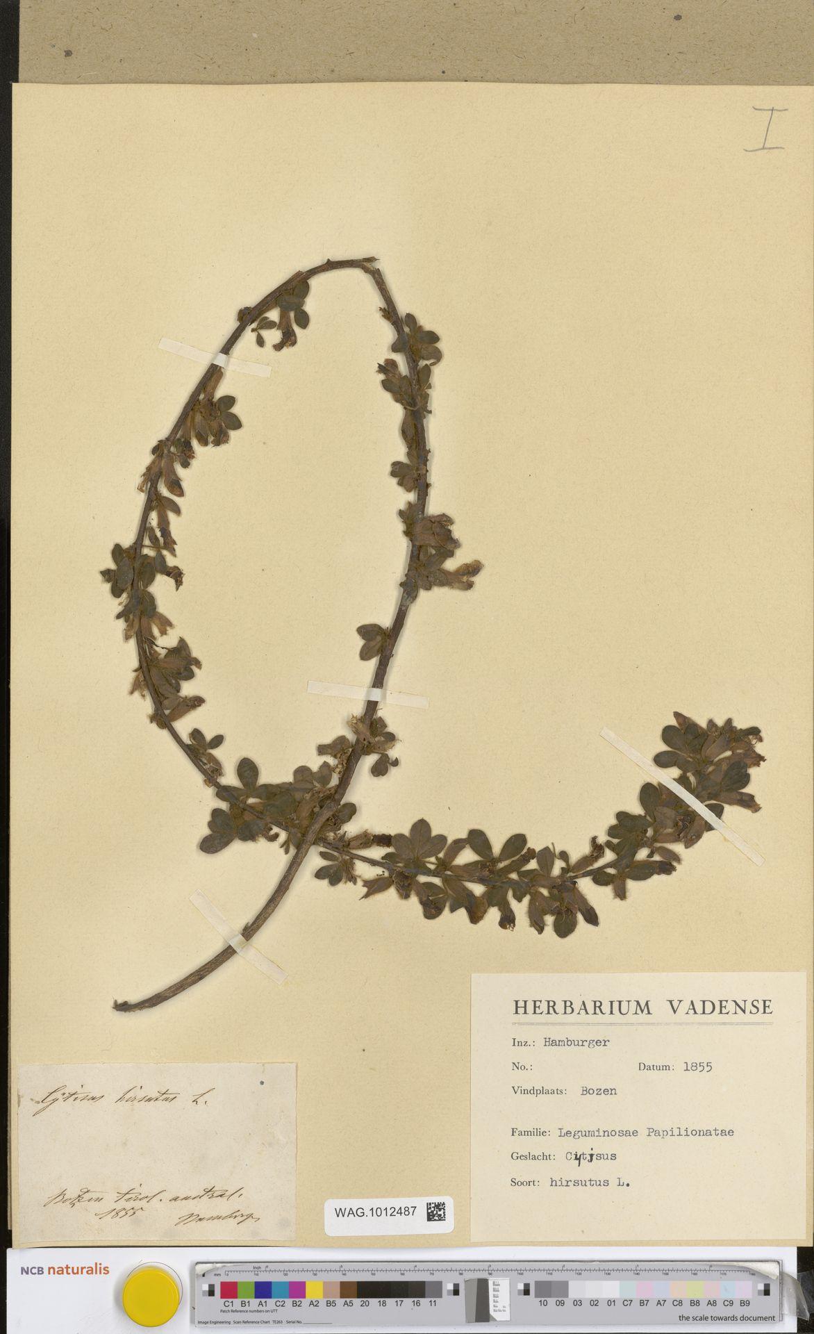 WAG.1012487 | Cytisus hirsutus L.