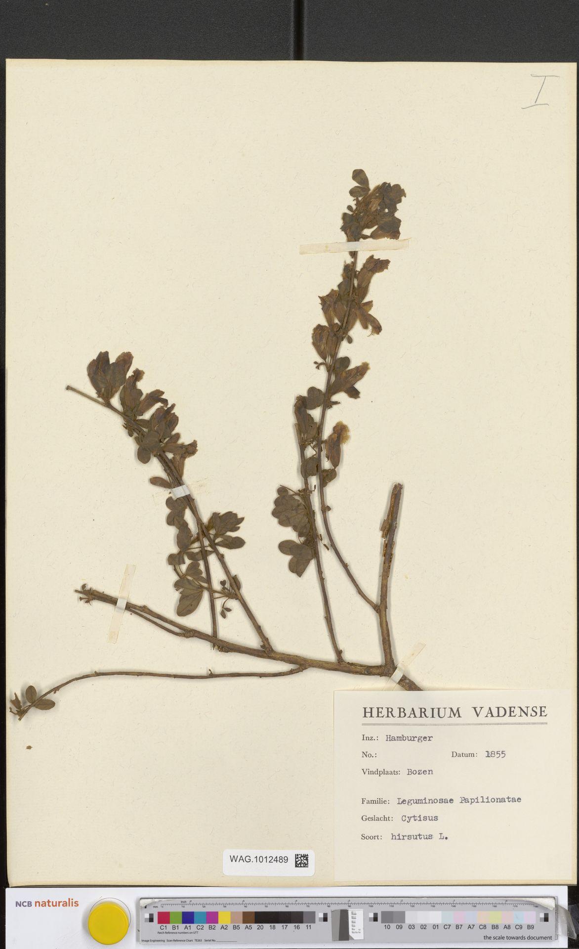 WAG.1012489 | Cytisus hirsutus L.