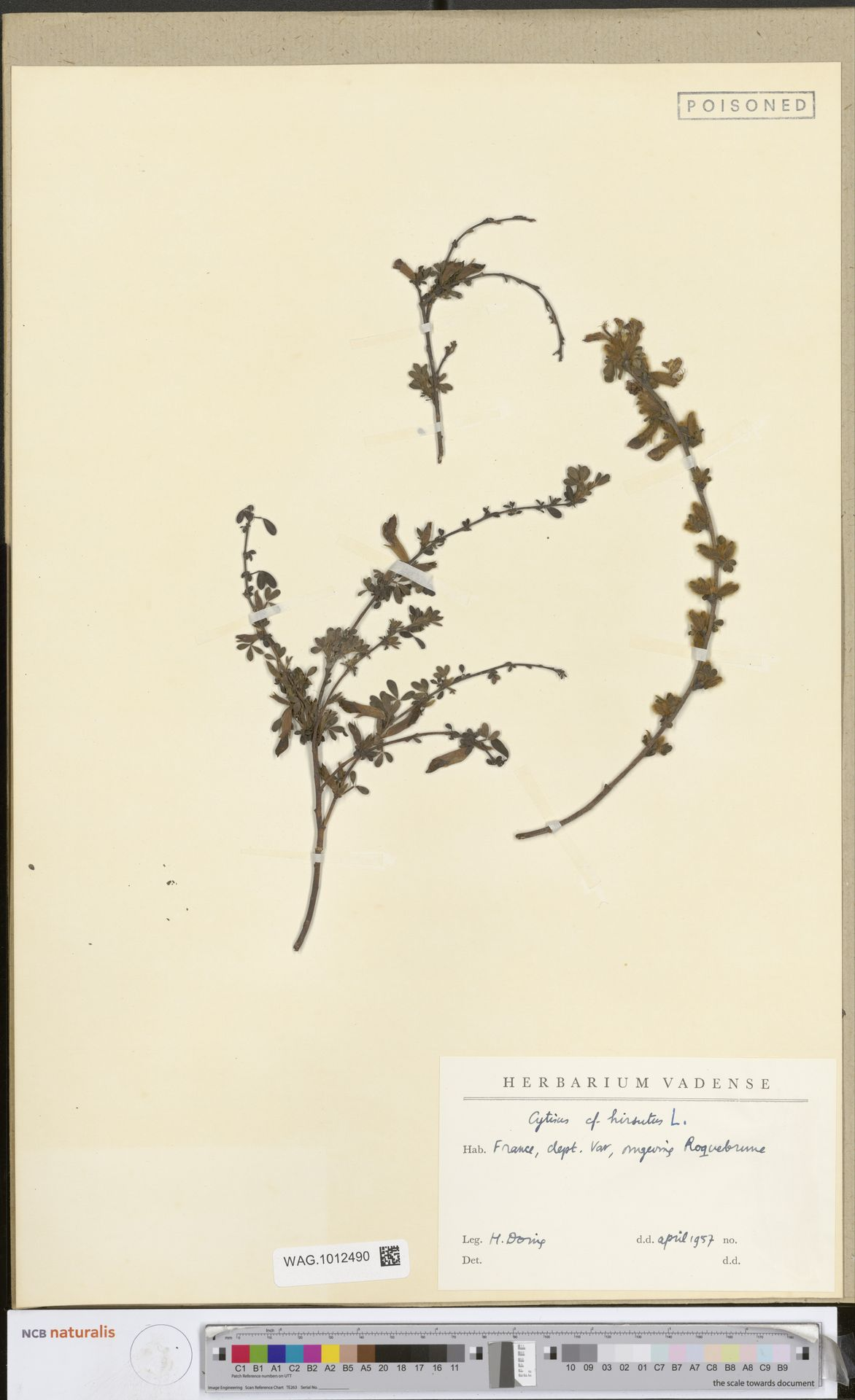 WAG.1012490 | Cytisus hirsutus L.