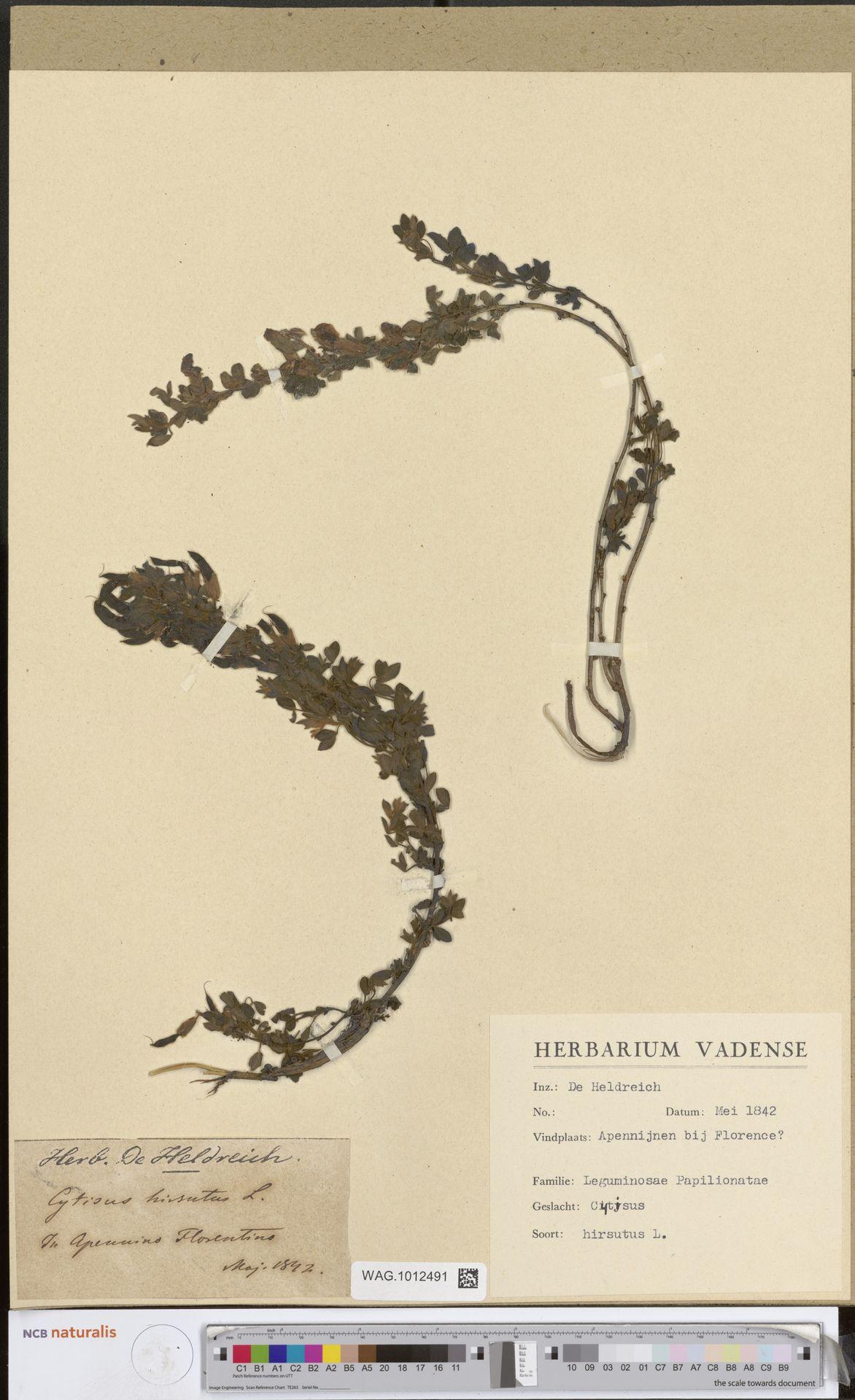 WAG.1012491 | Cytisus hirsutus L.