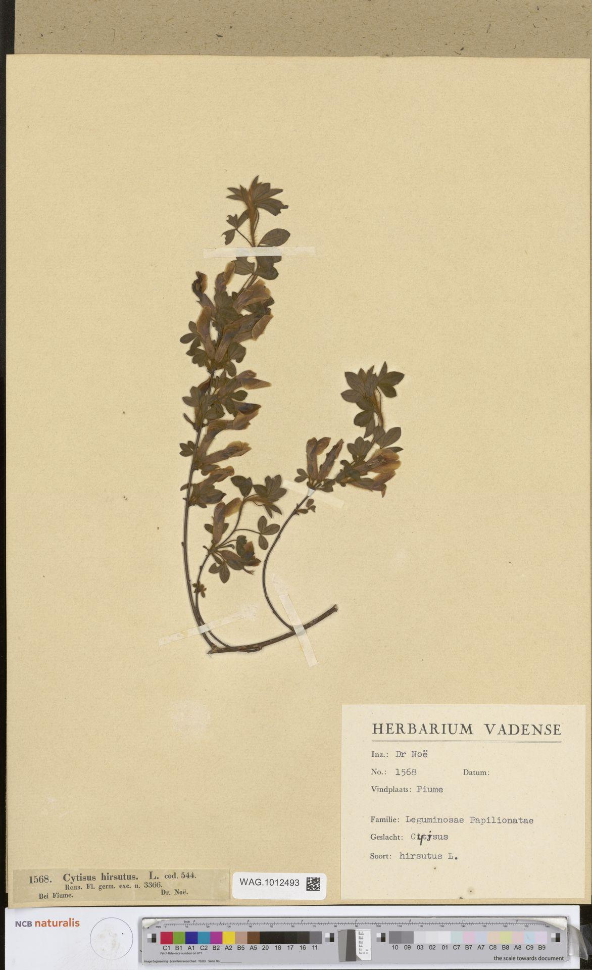 WAG.1012493 | Cytisus hirsutus L.