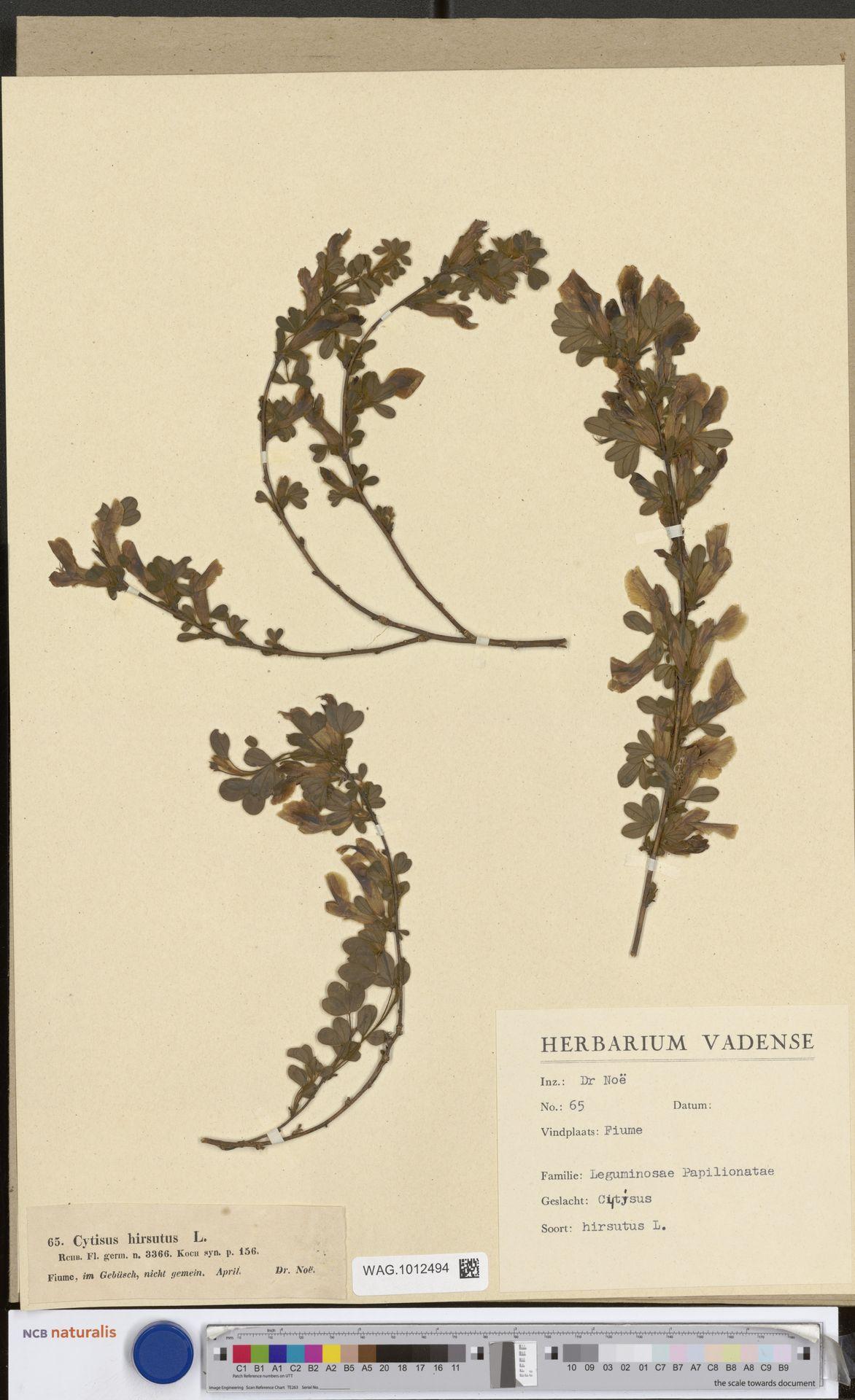 WAG.1012494 | Cytisus hirsutus L.