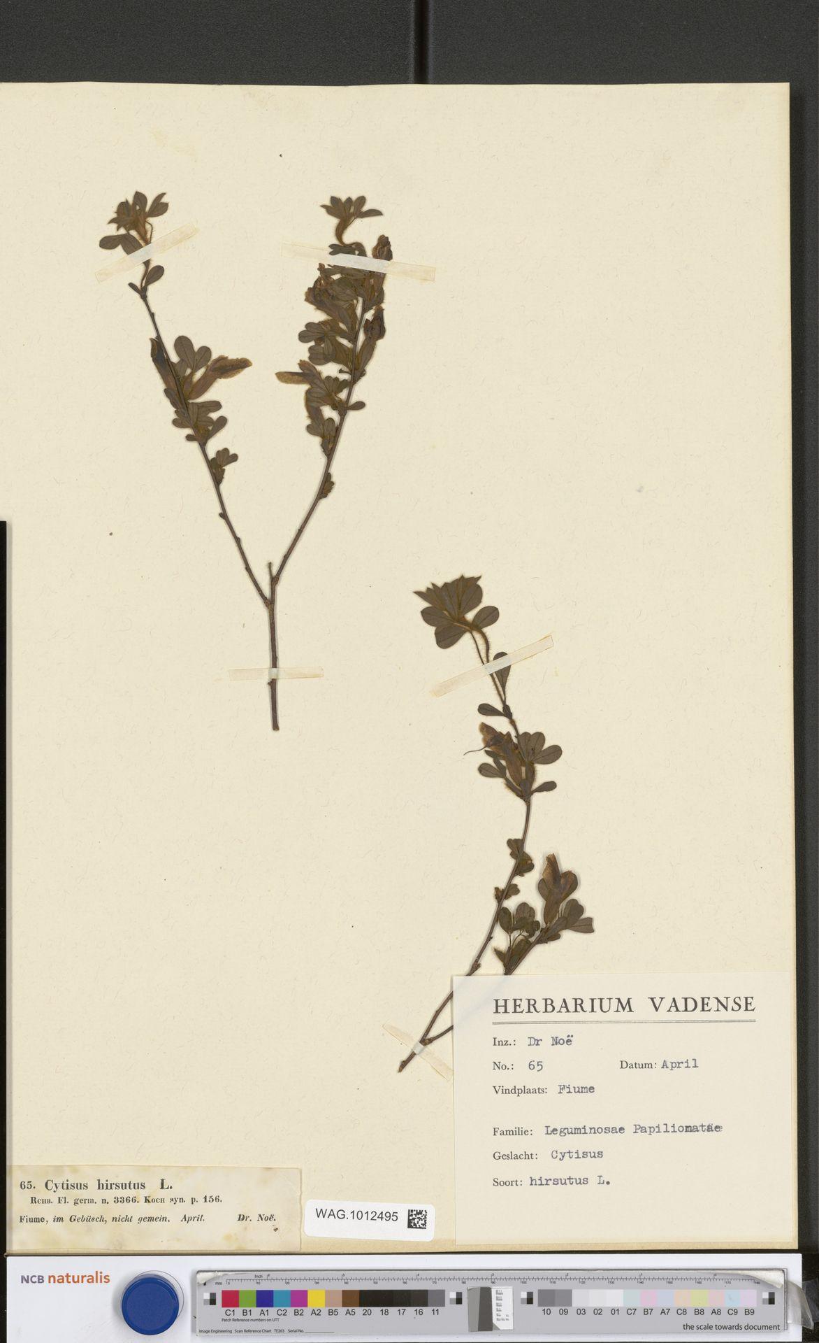 WAG.1012495 | Cytisus hirsutus L.