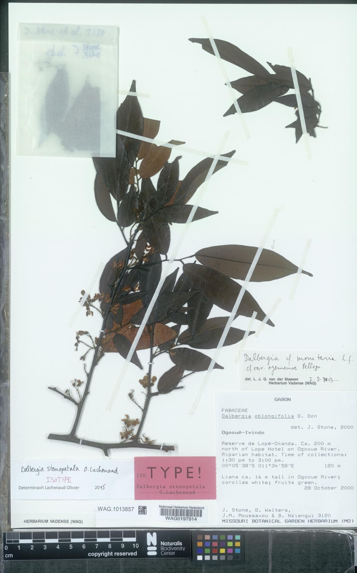 WAG.1013857 | Dalbergia stenopetala O.Lachenaud