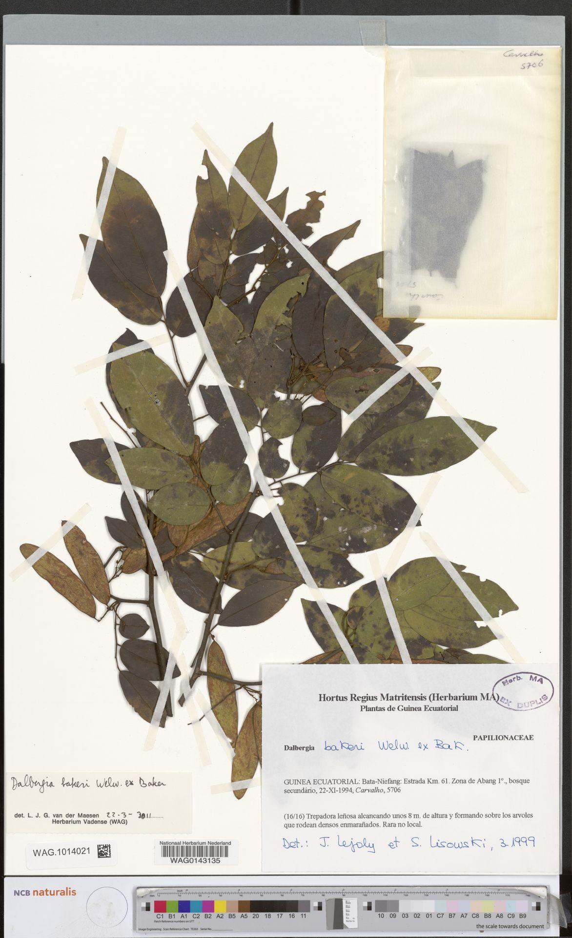 WAG.1014021 | Dalbergia adamii subsp. erectipilis O.Lachenaud