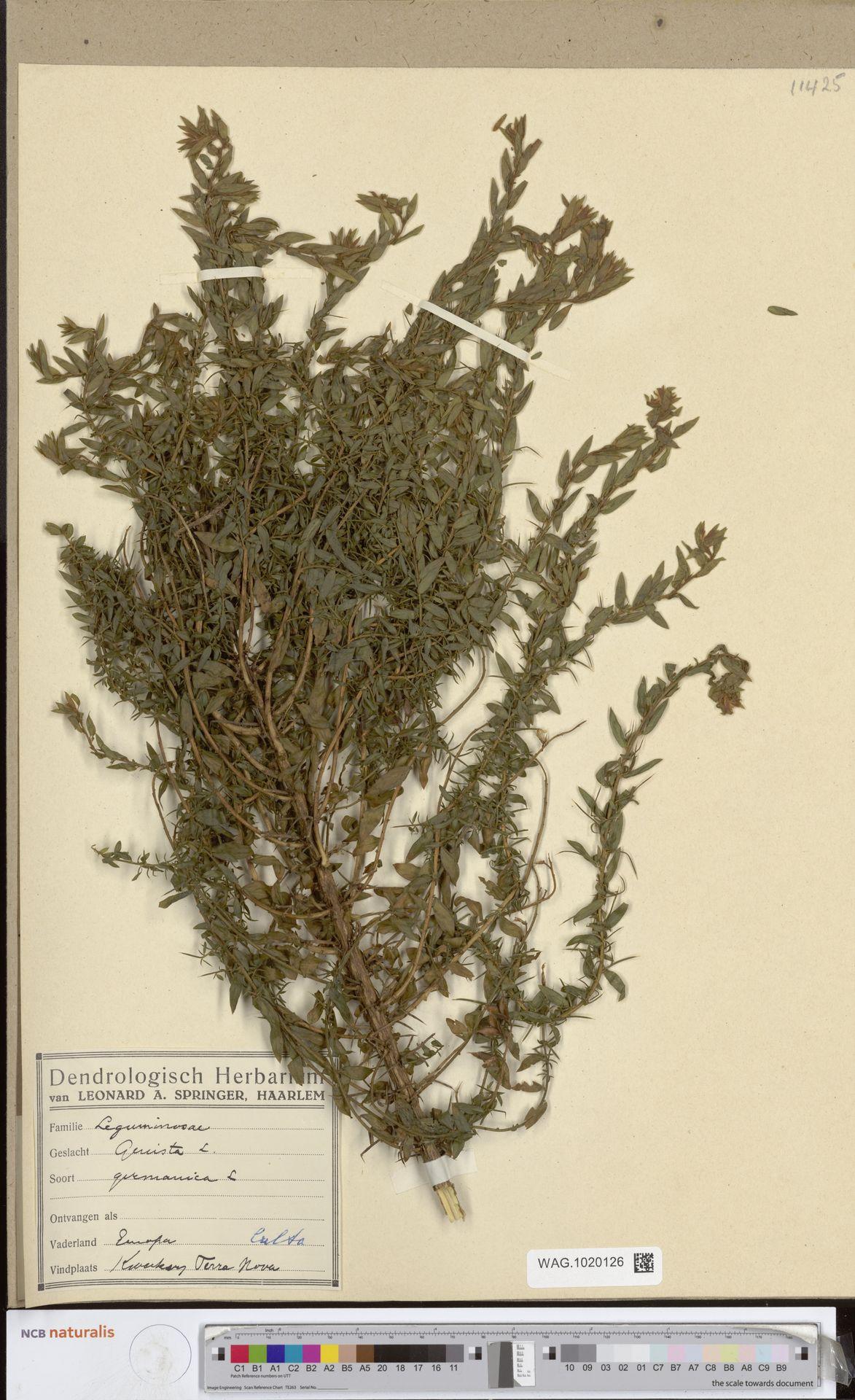 WAG.1020126   Genista germanica L.